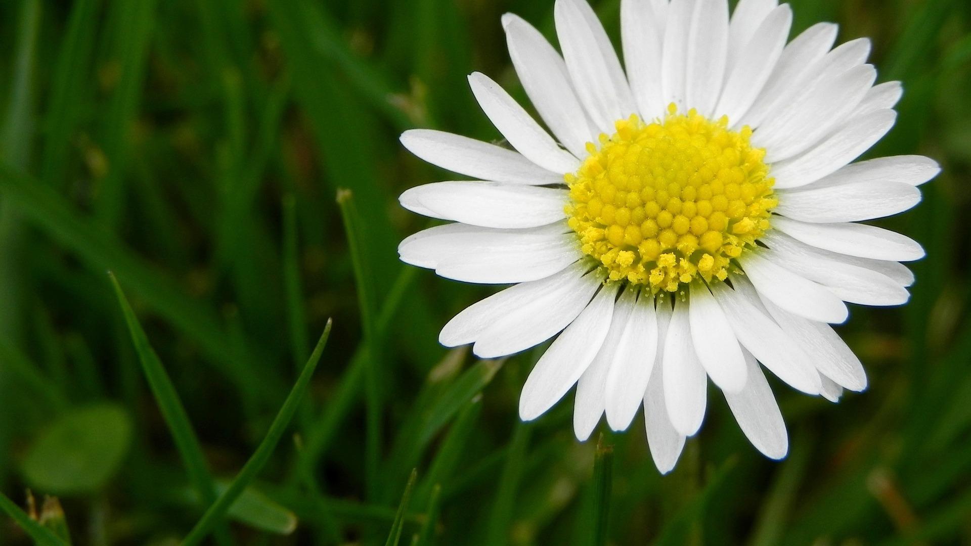 Image for White Daisy Flower Wallpaper HD