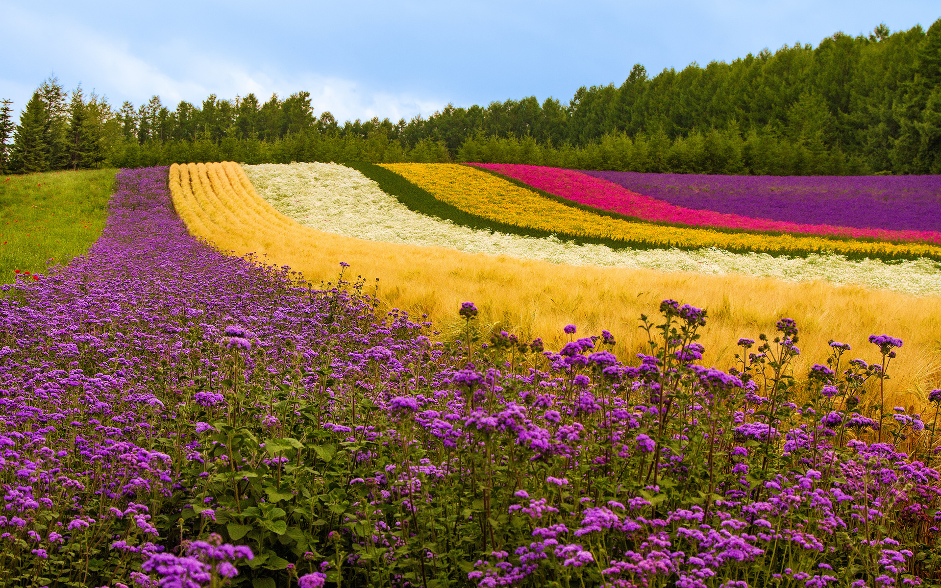 Free Flower Field Wallpaper