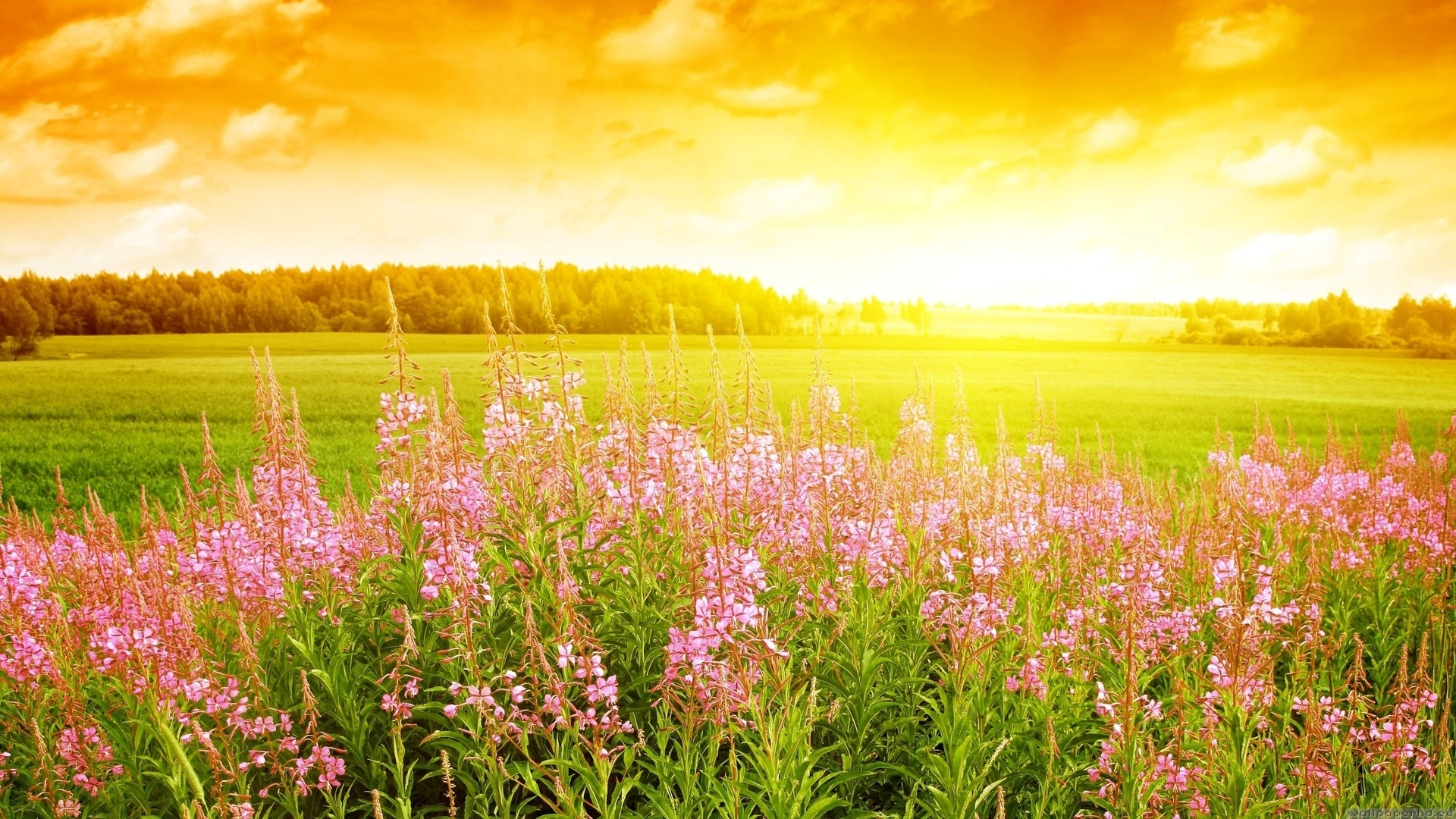 Flowers field wallpapers flower Flower HD Wallpaper 1920x1080 px