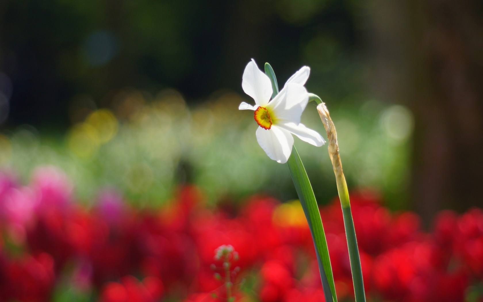 Flower Narcissus Sunny Spring Nature