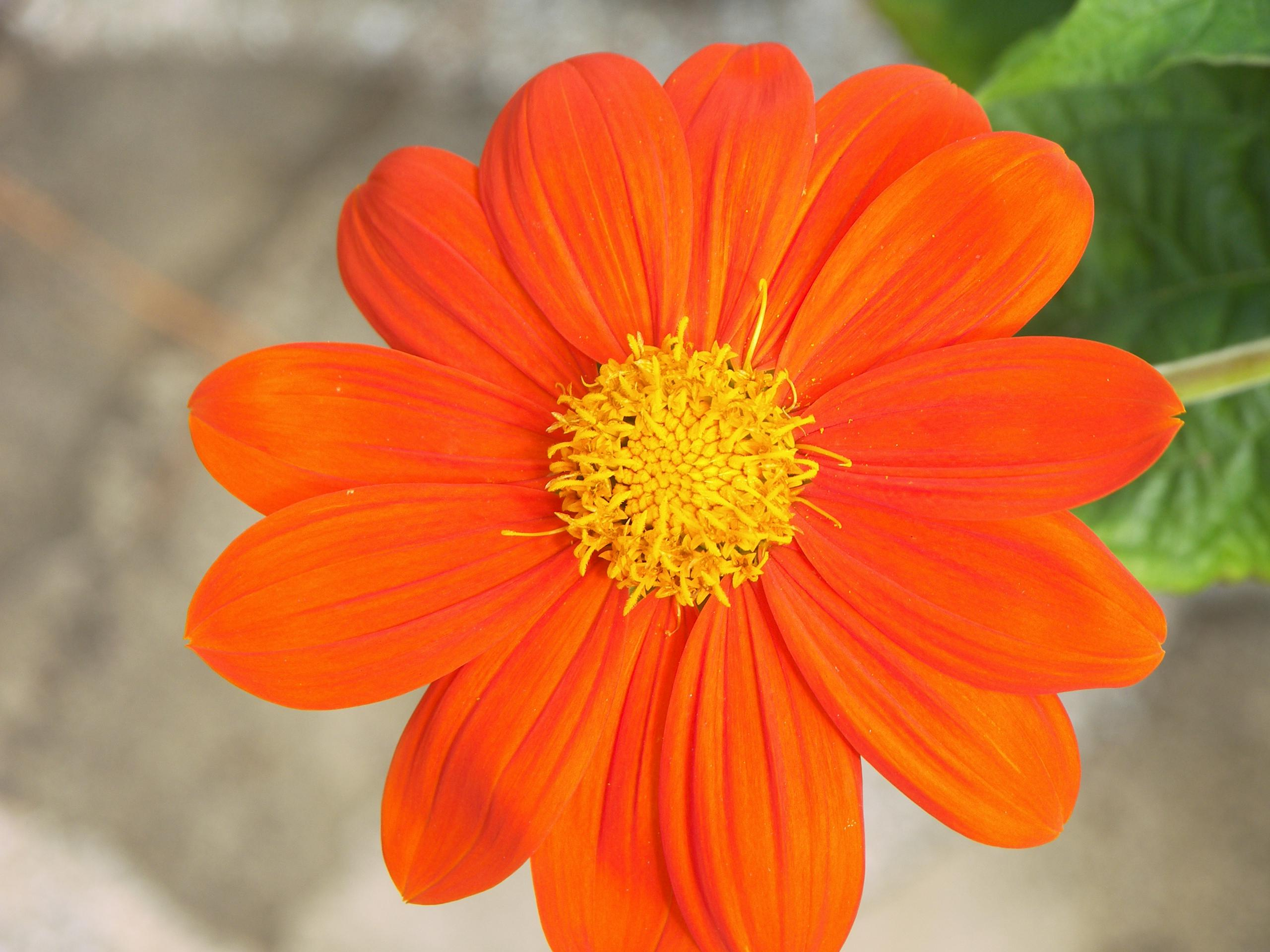 Orange petal flower HQ WALLPAPER - (#125127)