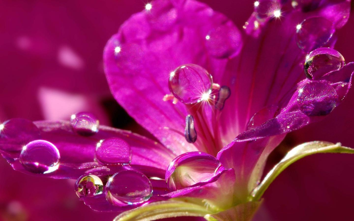 Water drops on a pink flower HQ Wallpaper