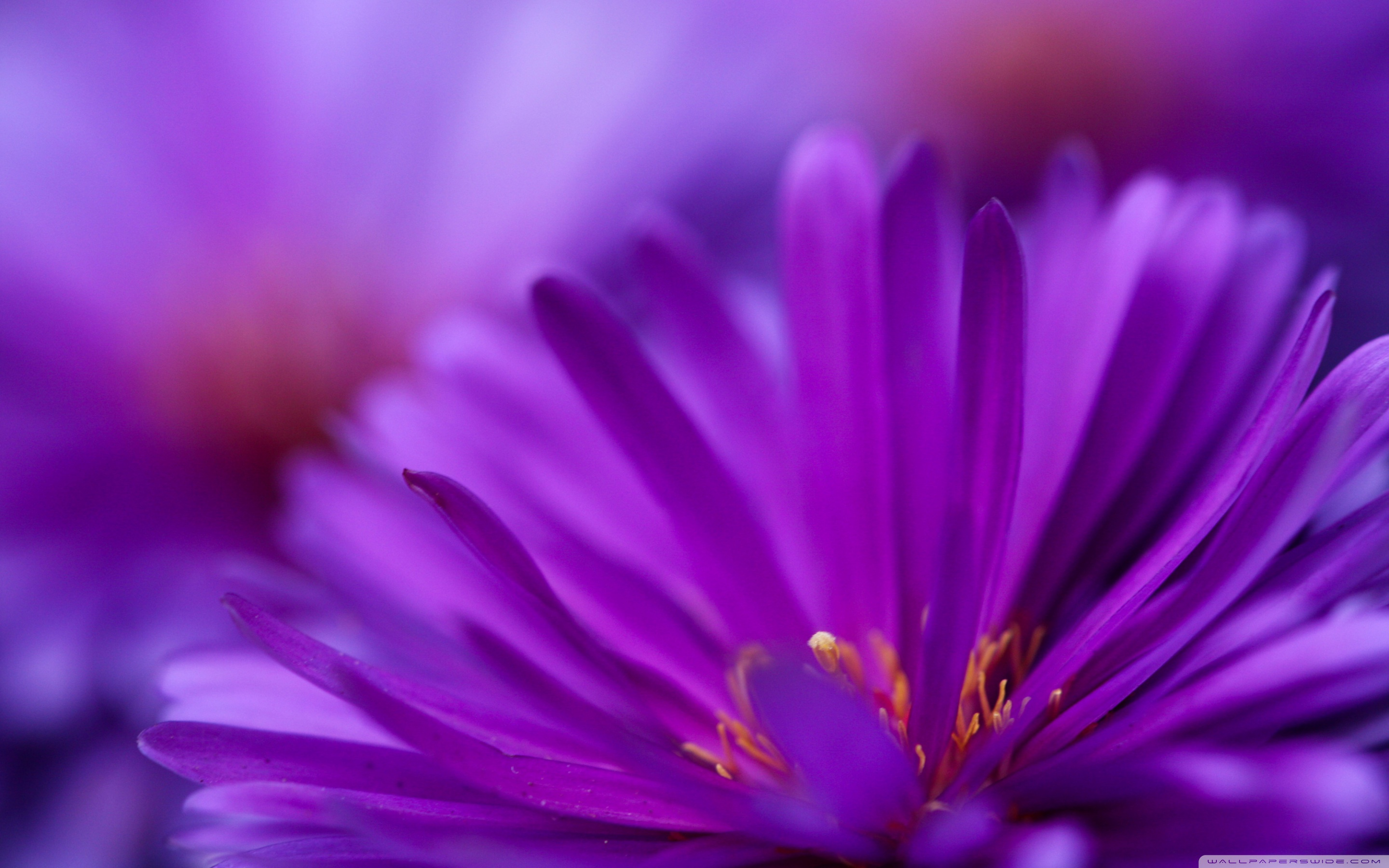 Flower Purple Petals