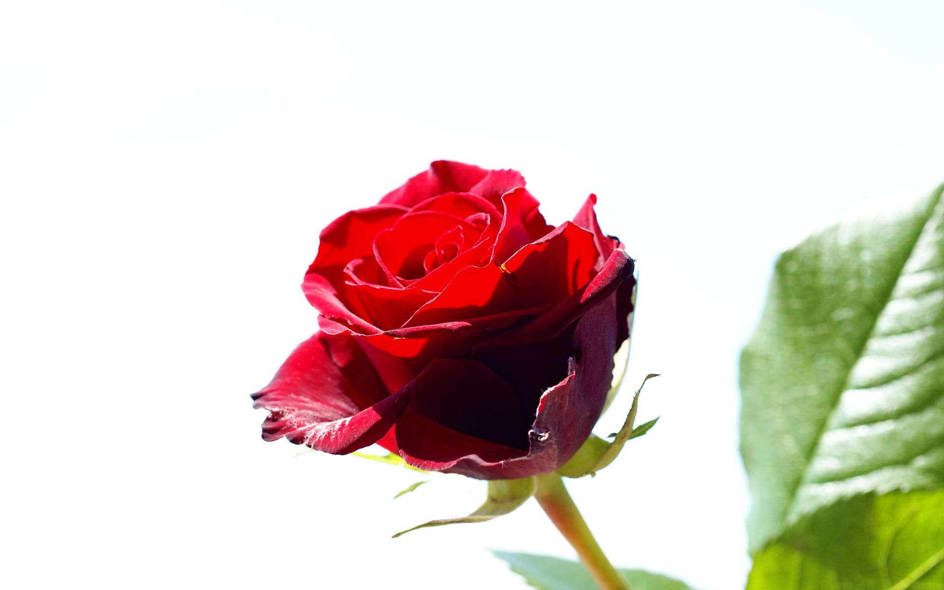 Flower Red Rose