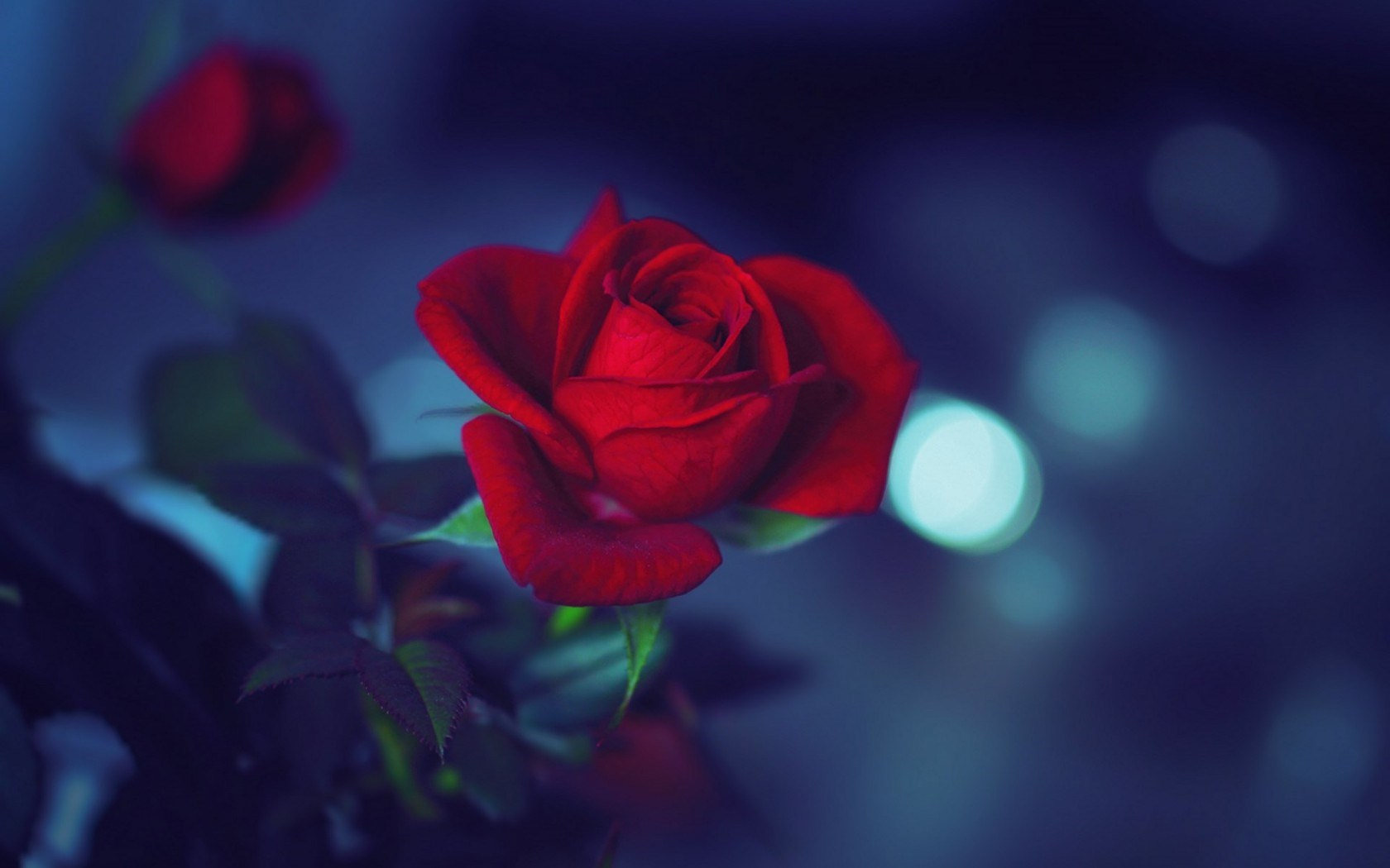 Flower Red Rose Night