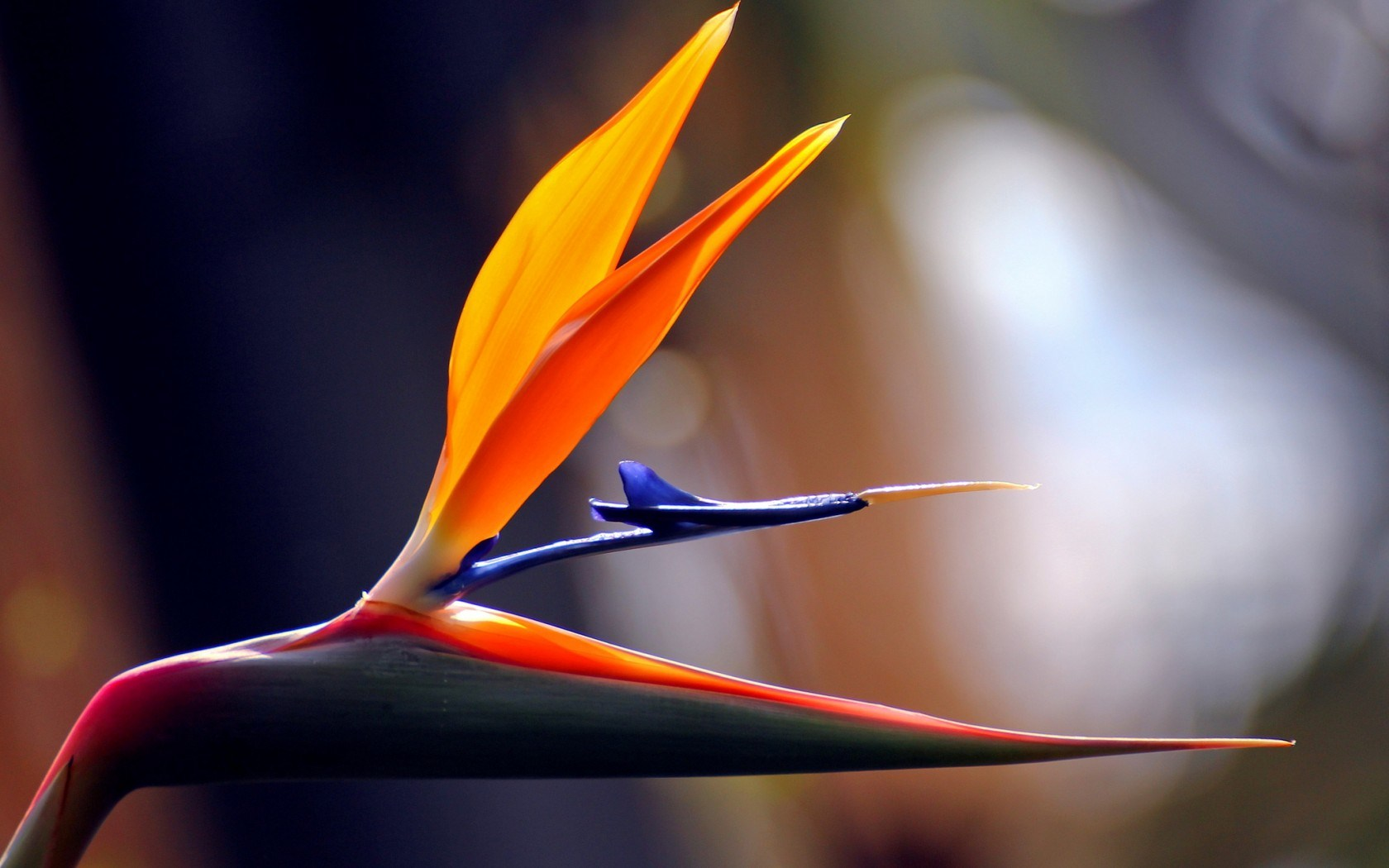 Flower Tropical Bird of Paradise Strelitzia Africa