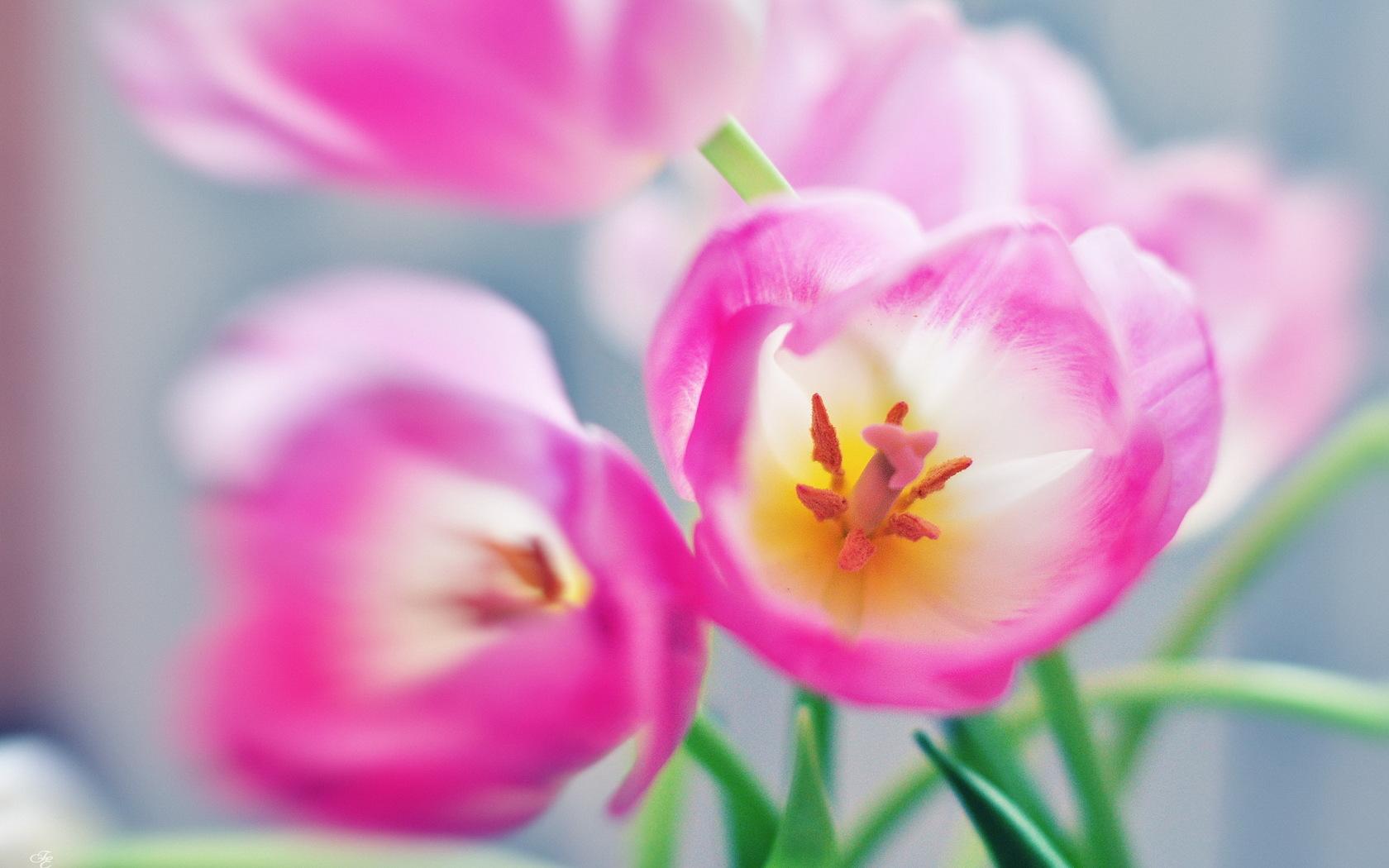 Flower Tulip Macro