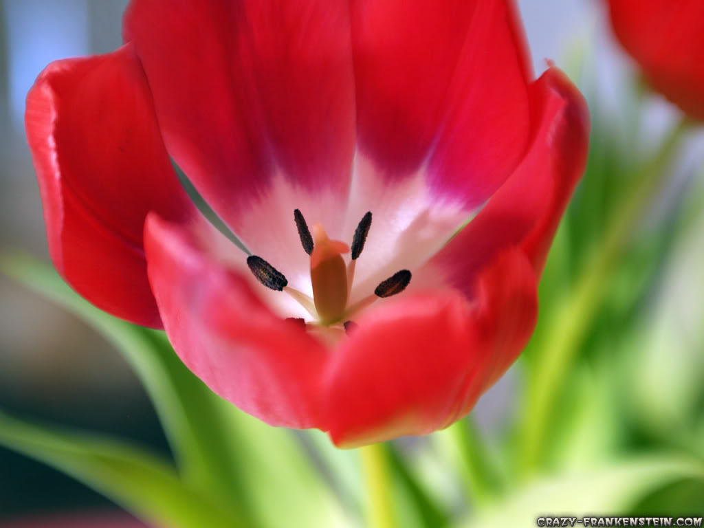 Flower Tulip Petals Photo