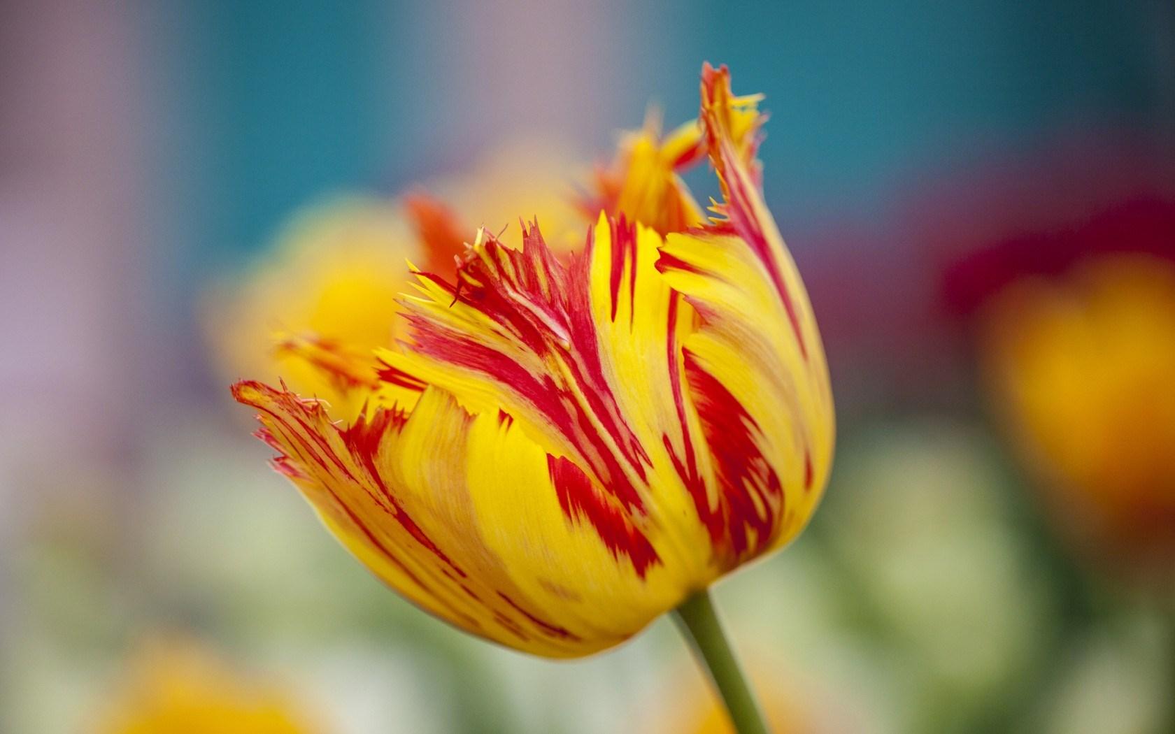 Flower Tulip Spring Yellow Orange