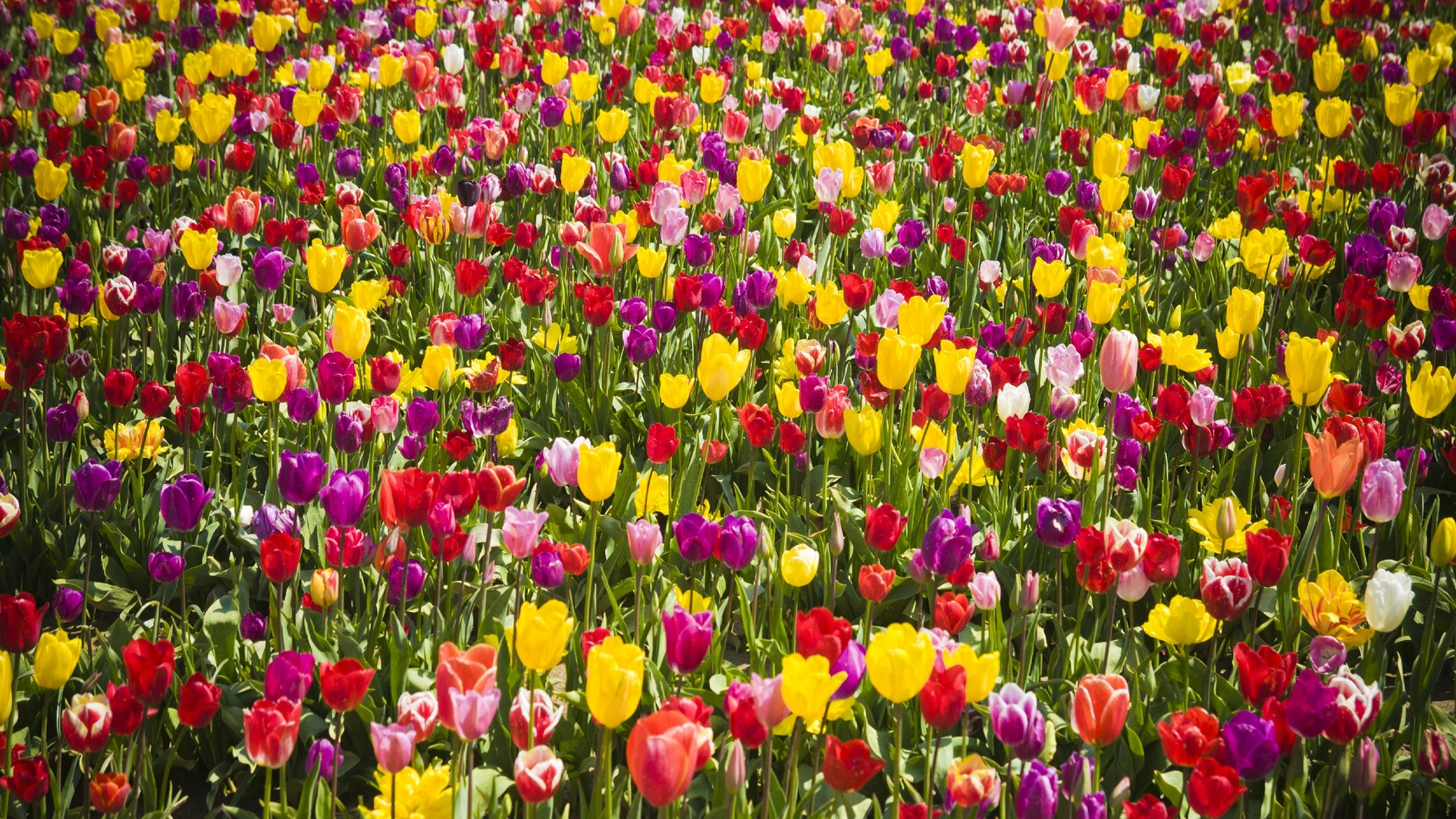 tulips-flower-wallpaper-1920x1080-1155 (Flower Wallpapers in 1920×1080