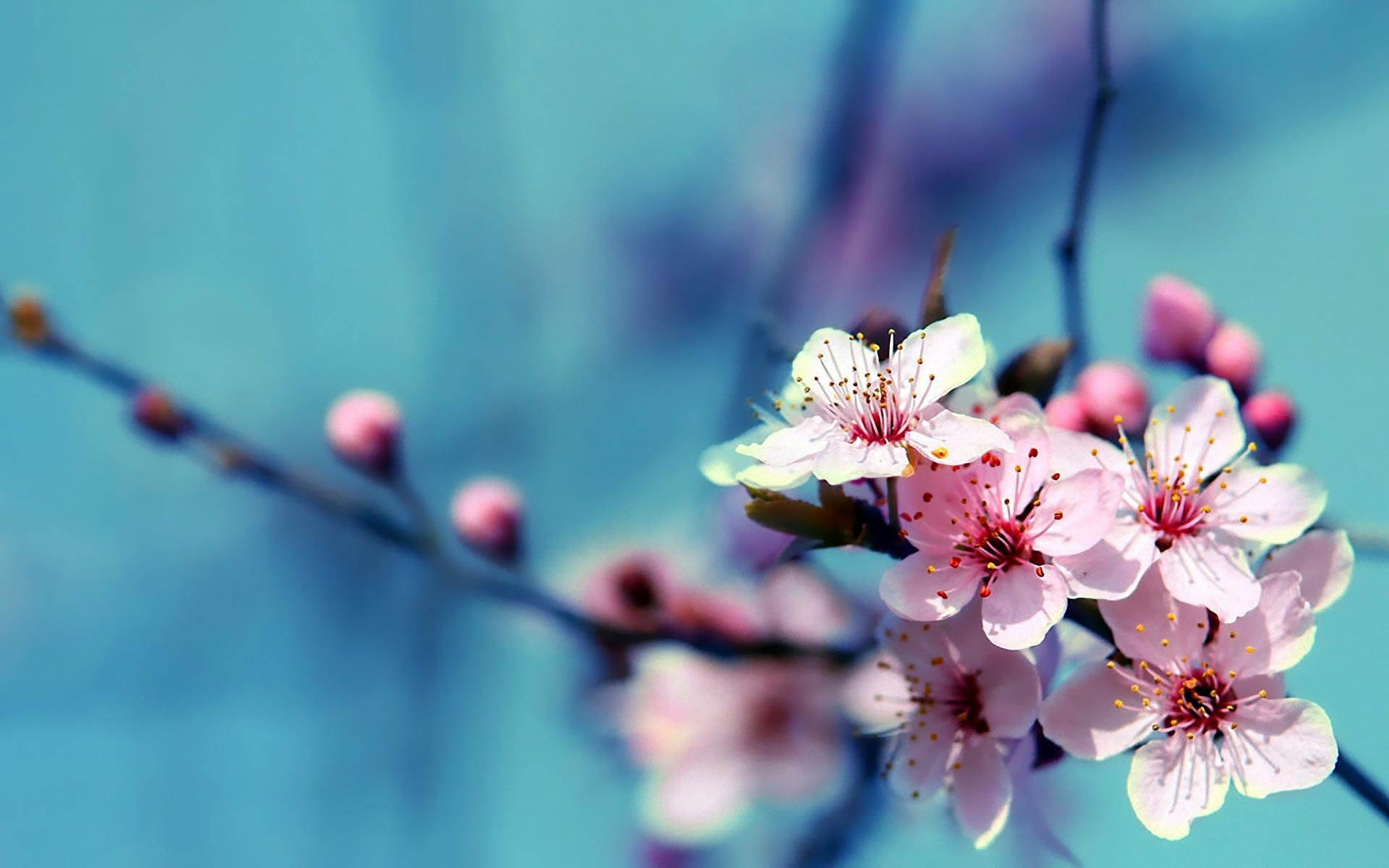 cherry-blossom-flower-wallpaper