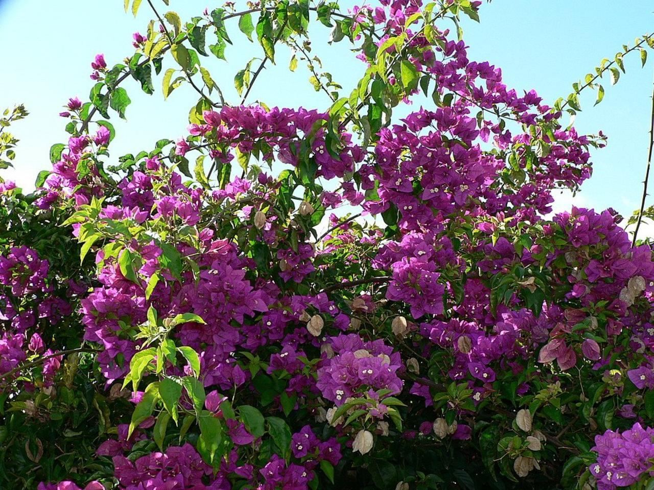 File:Bush with purple flowers.jpg