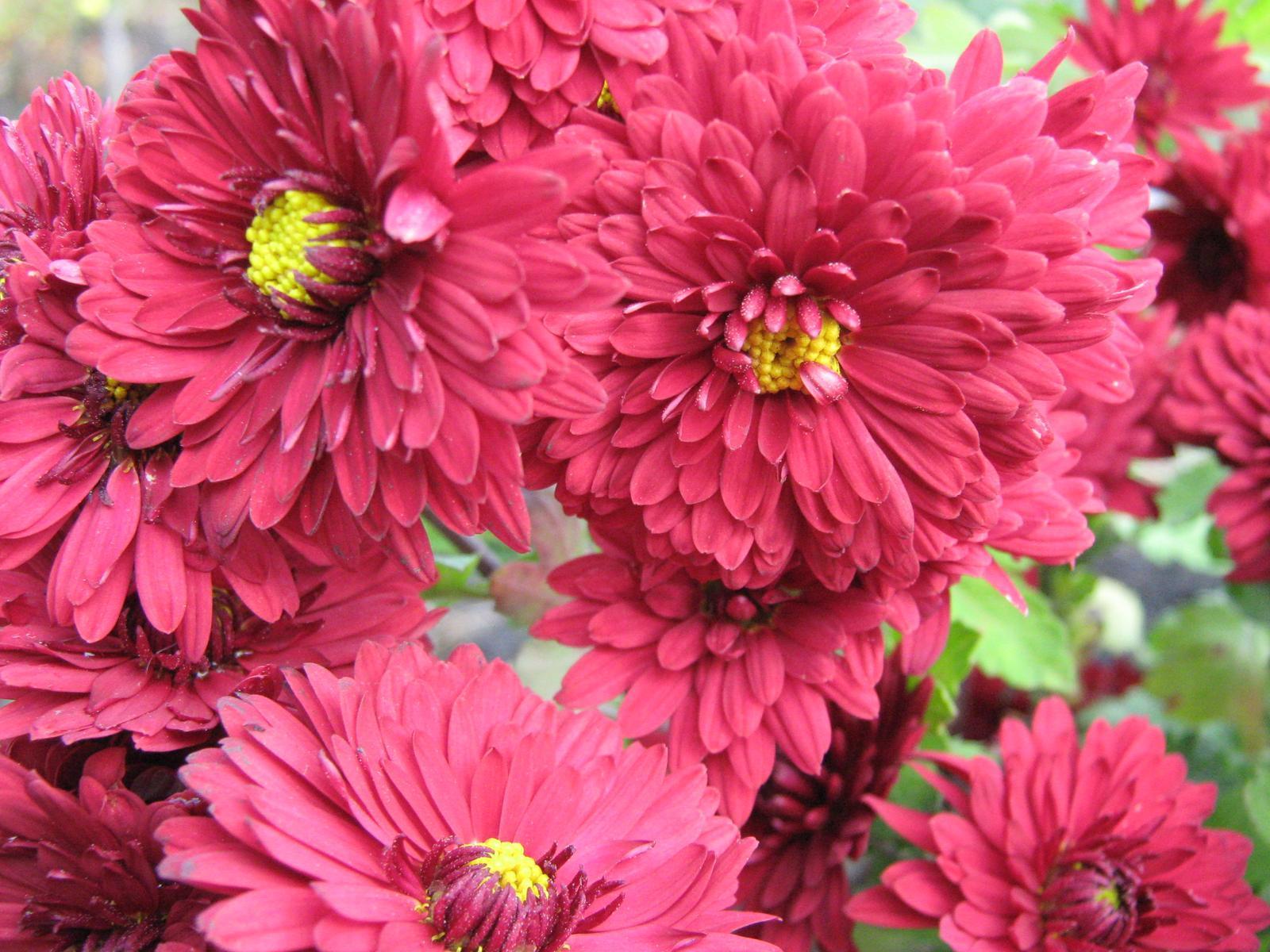 Flowers Chrysanthemums Photo