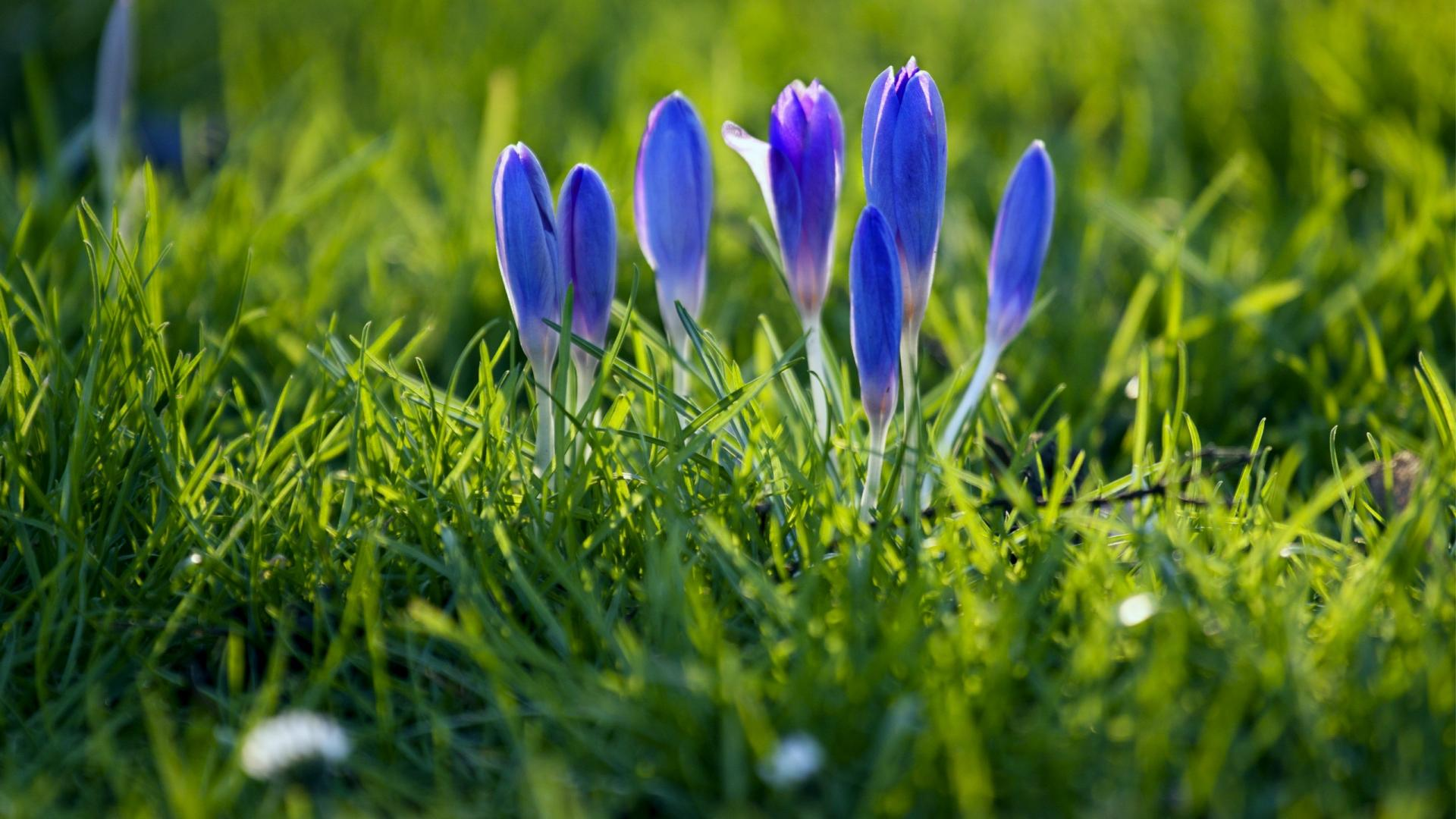 Flowers Crocus Grass Nature