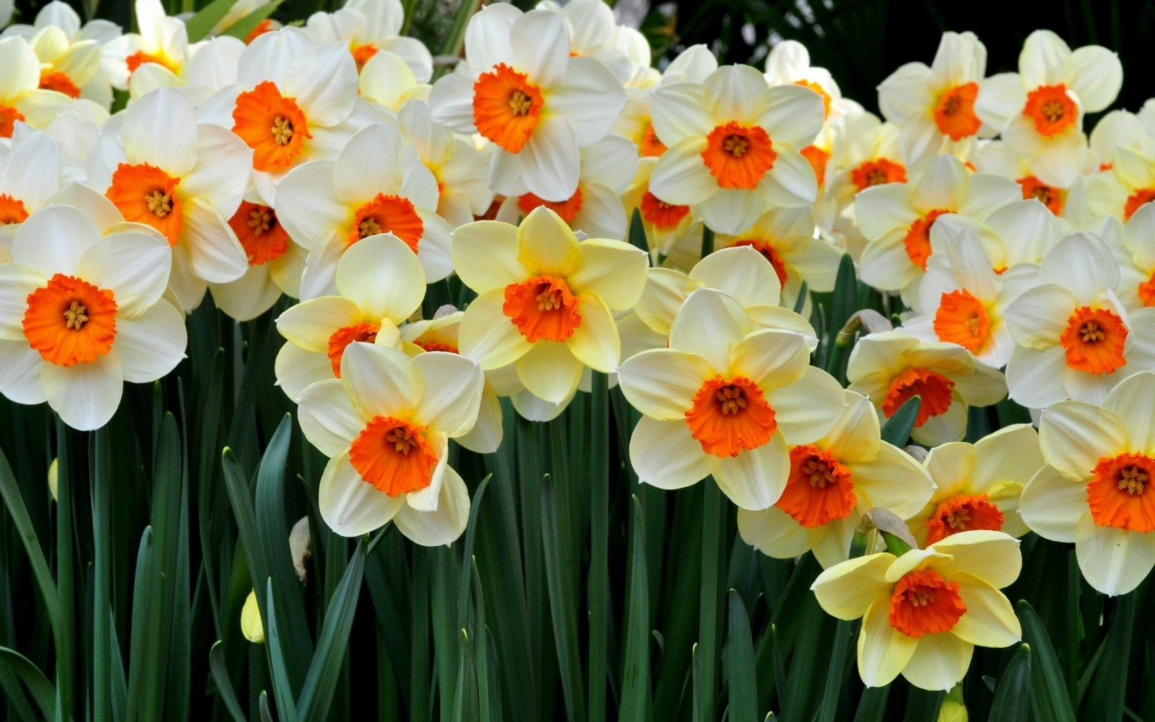 Flowers Daffodils Many