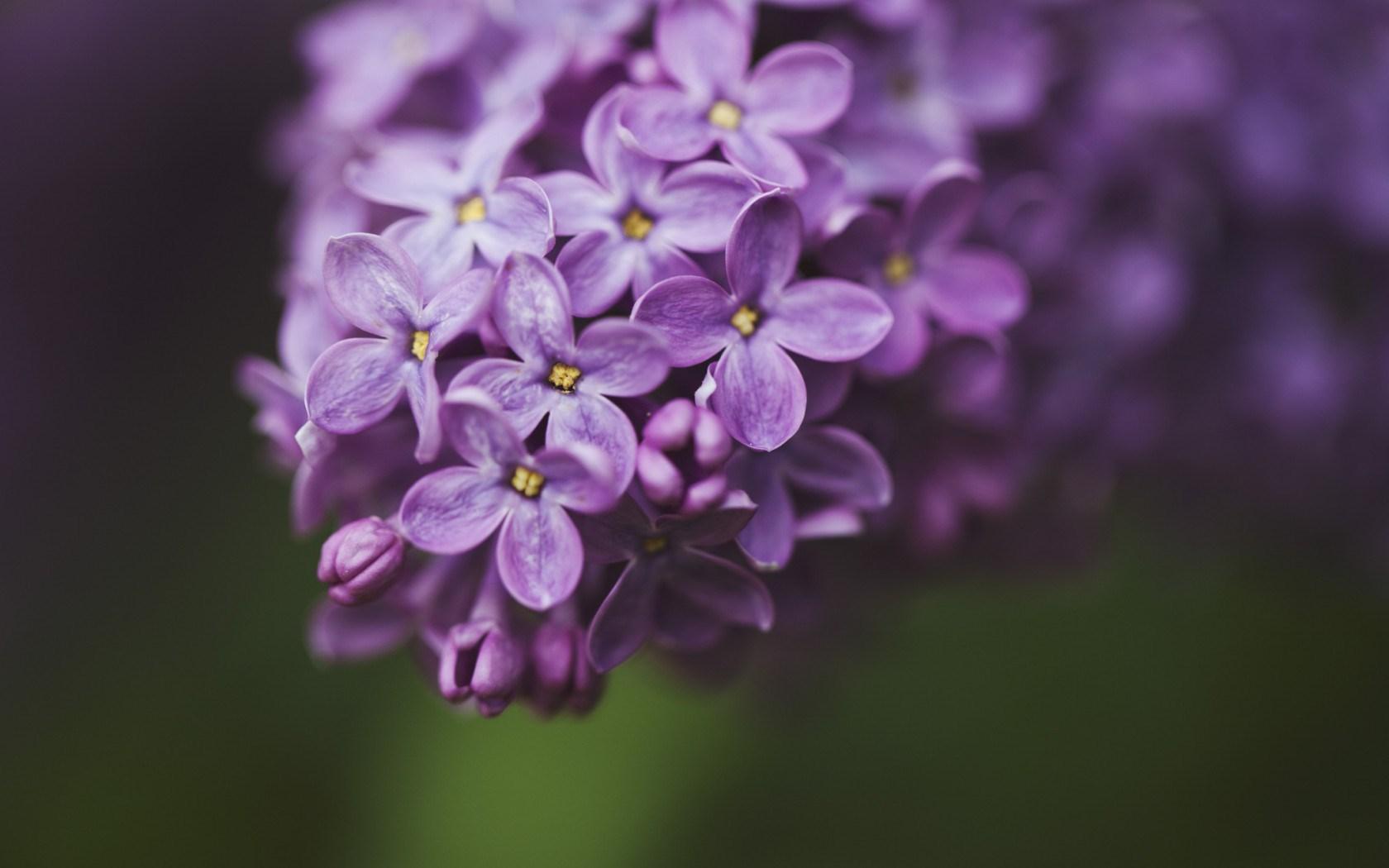 Flowers Lilac Macro