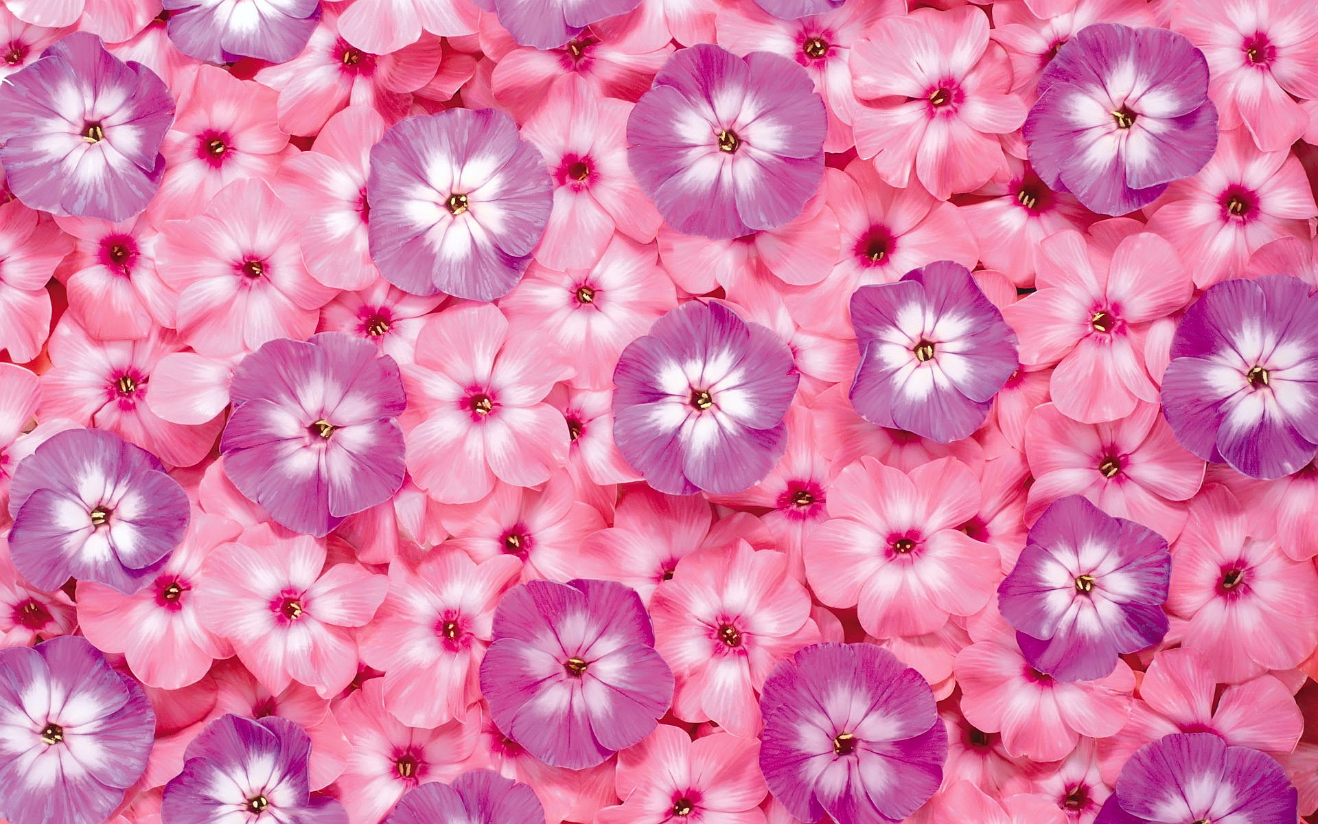 Flowers pink wallpaper 1920x1200 22998 flowers pink dhlflorist Choice Image