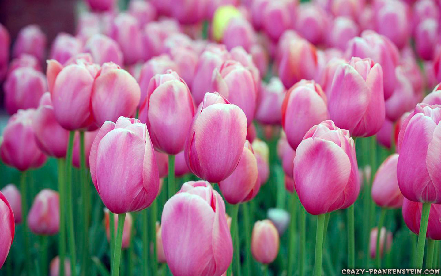 Flowers Pink Tulips Field Photo
