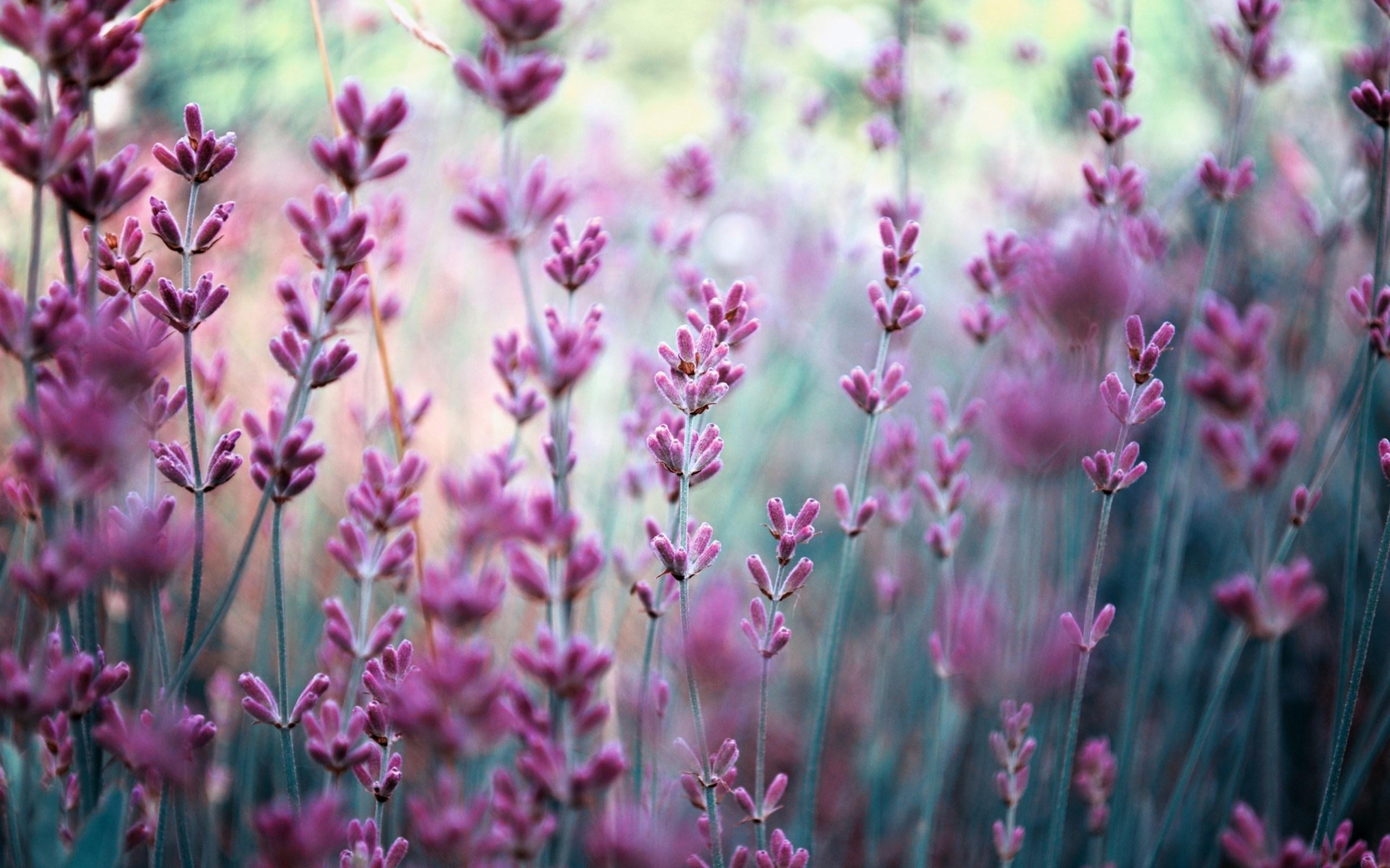 Flowers Purple Lavender Glare