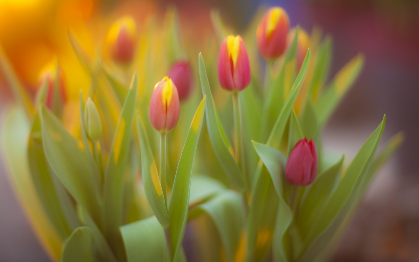 Flowers Tulips Spring Yellow and Pink
