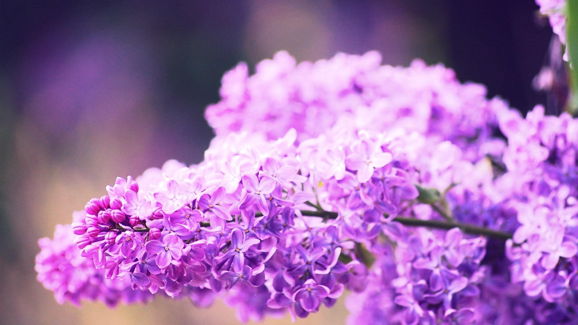 Flowers Syringa Lilac