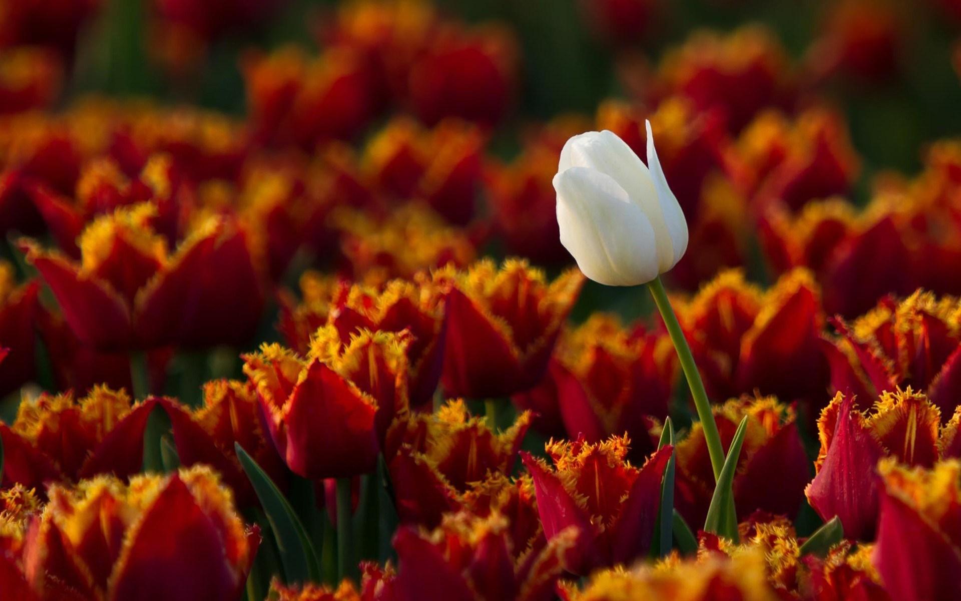 Flowers Tulips One White Amazing