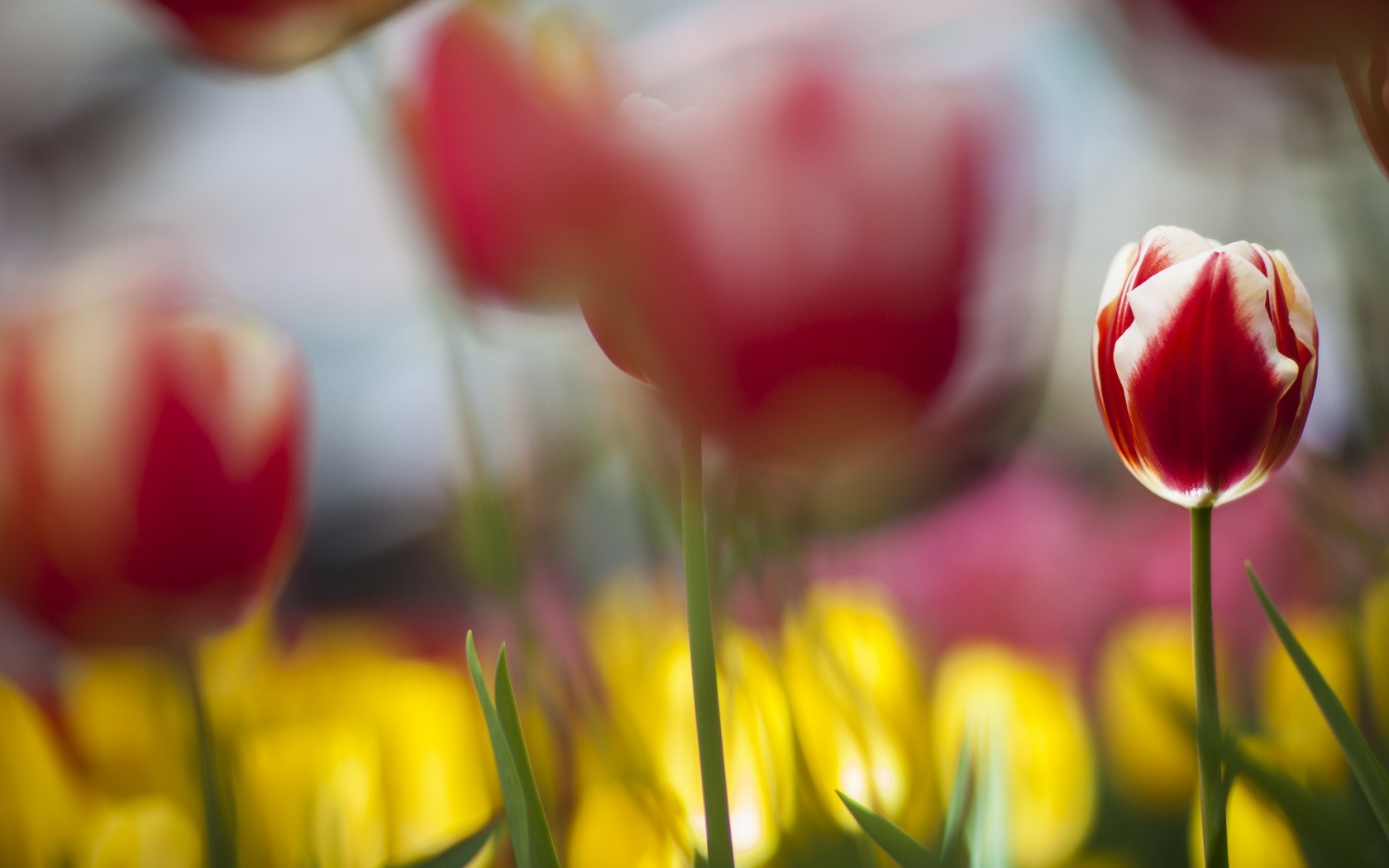 Flowers Tulips Red and White Focus