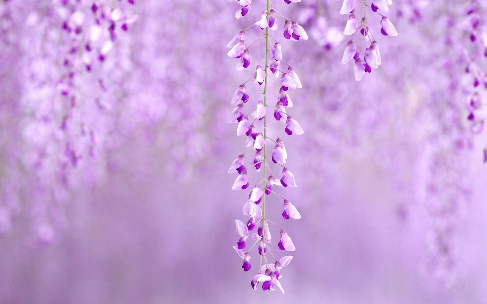 Flowers Wisteria Purple Nature