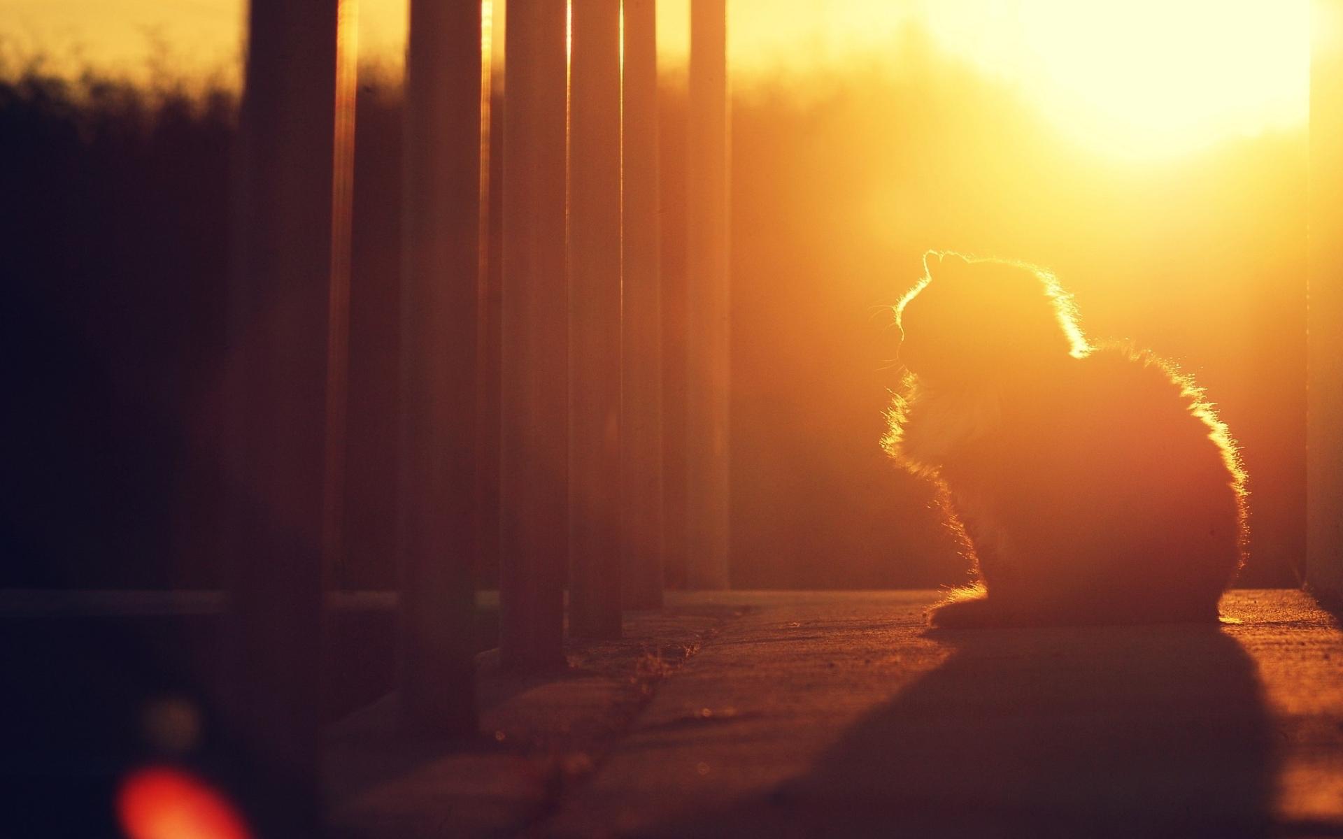 Fluffy cat sunset