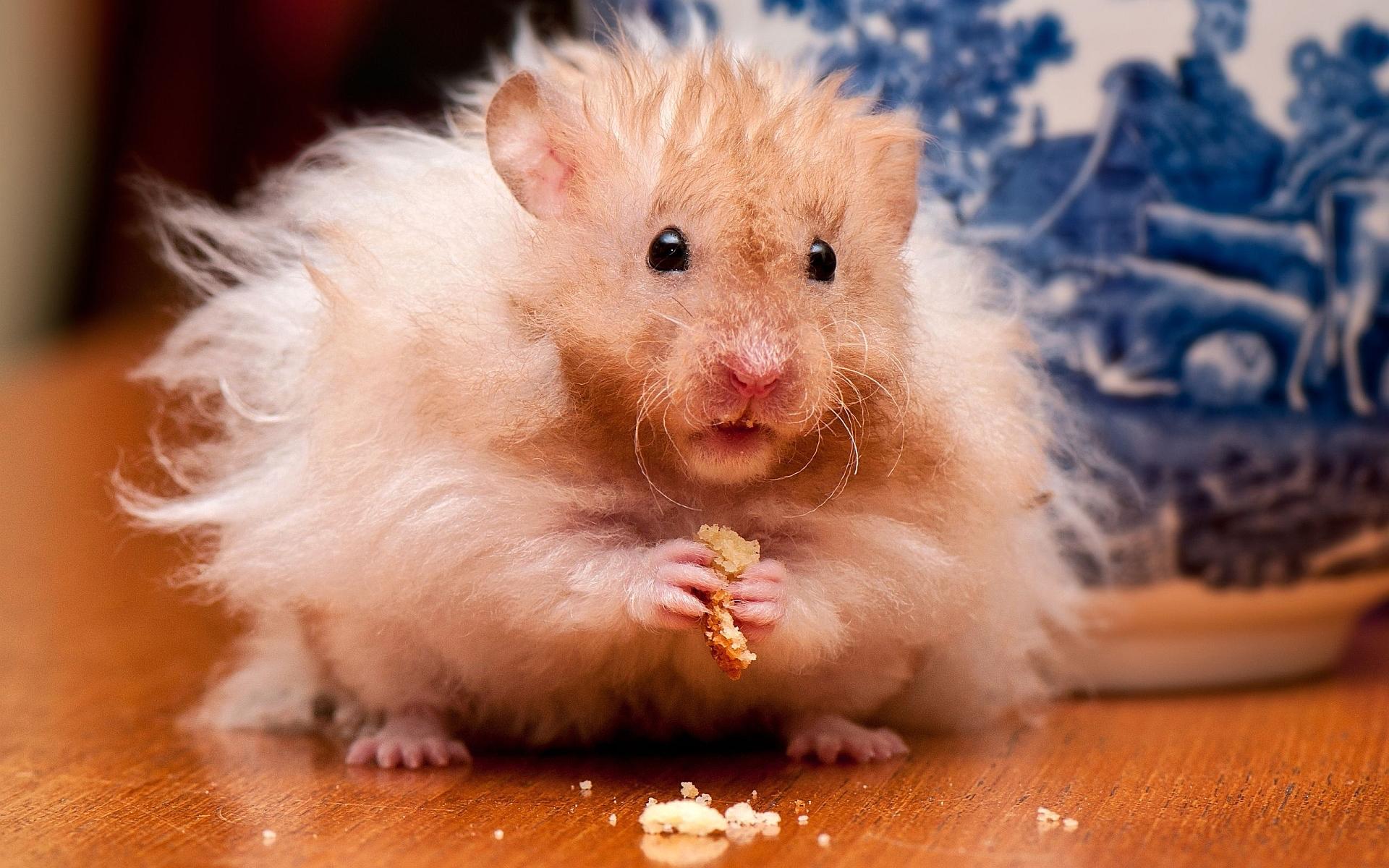 Fluffy hamster