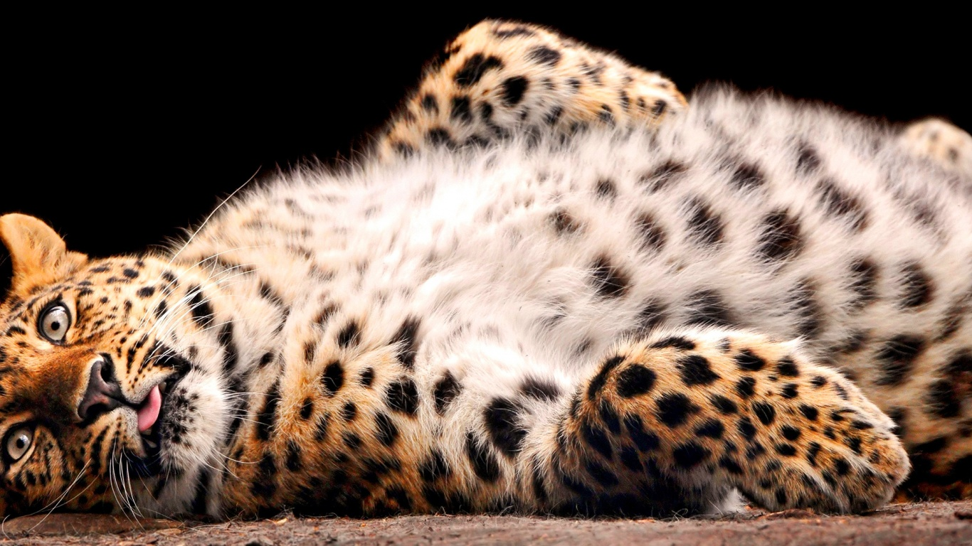 Fluffy leopard