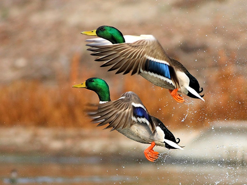 Flying ducks