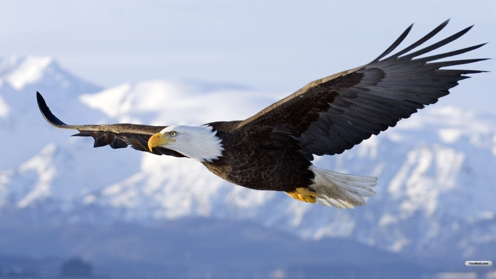 Eagle Flying Wallpapers