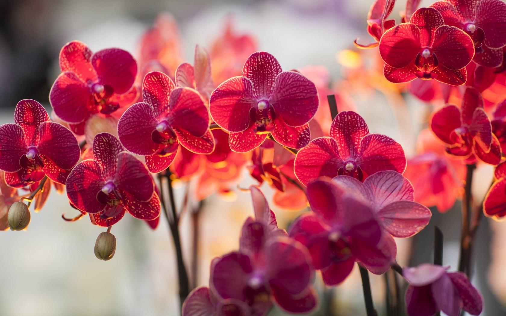Focus Flowers Phalaenopsis Orchid