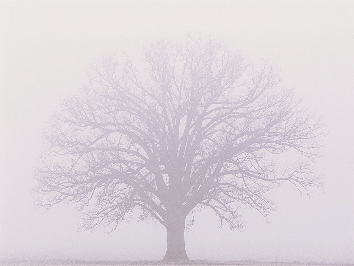 Burr-oak-misty-fog