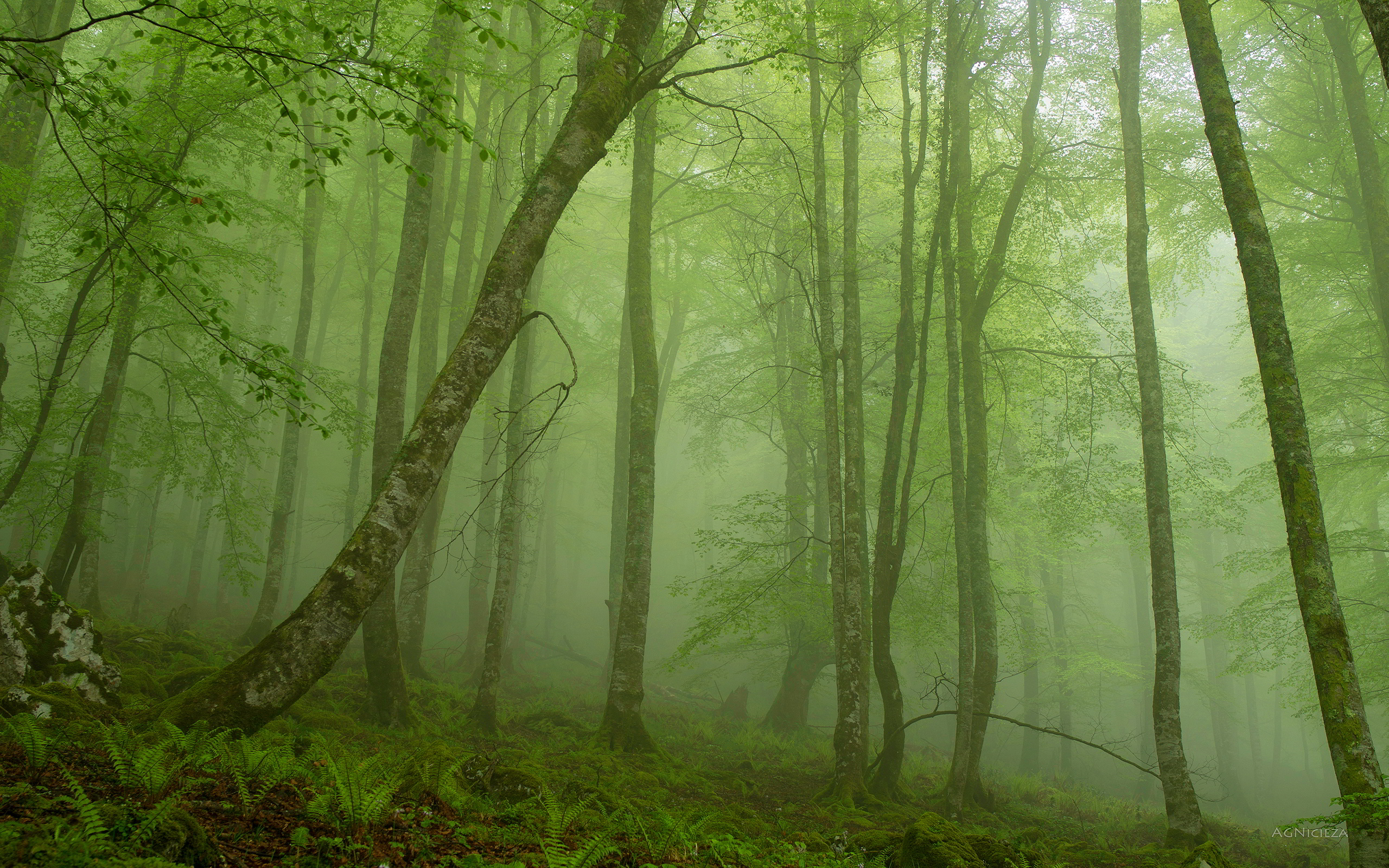 Foggy mystic forest