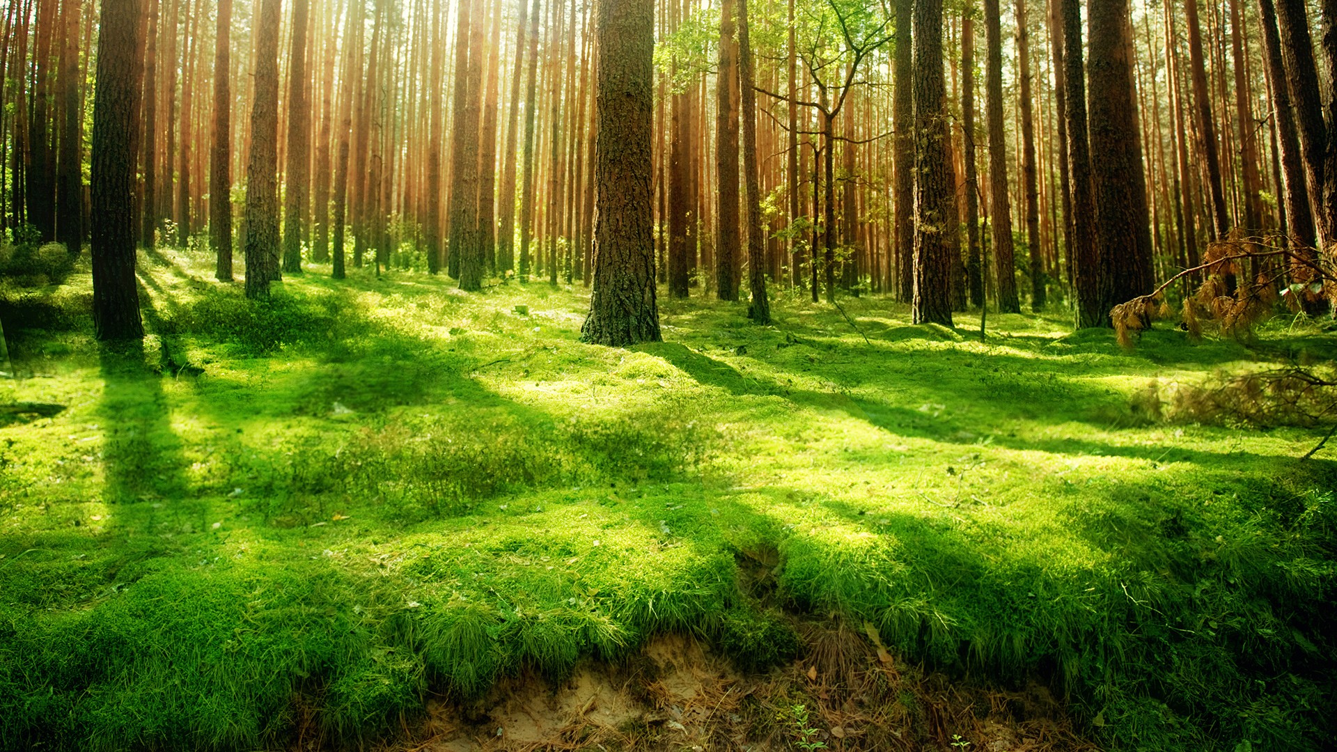 Forest HD Wallpaper