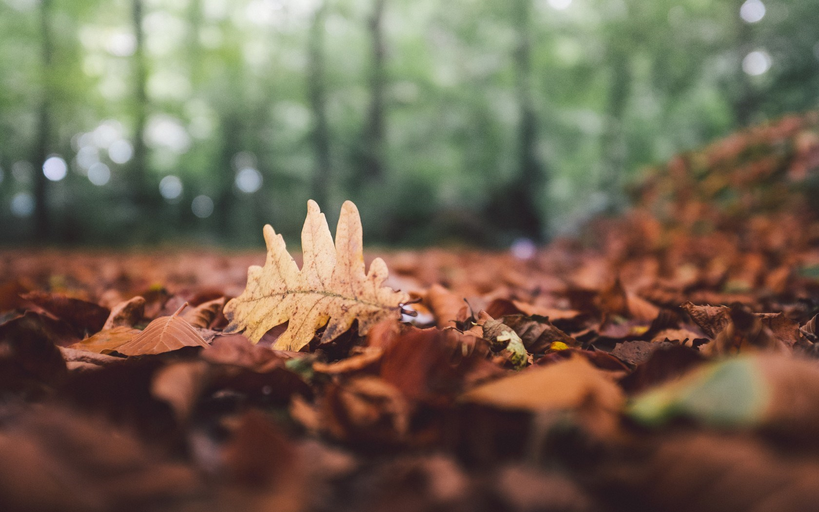 Forest Leaves Fallen Fall Leaf Oak Autumn Nature