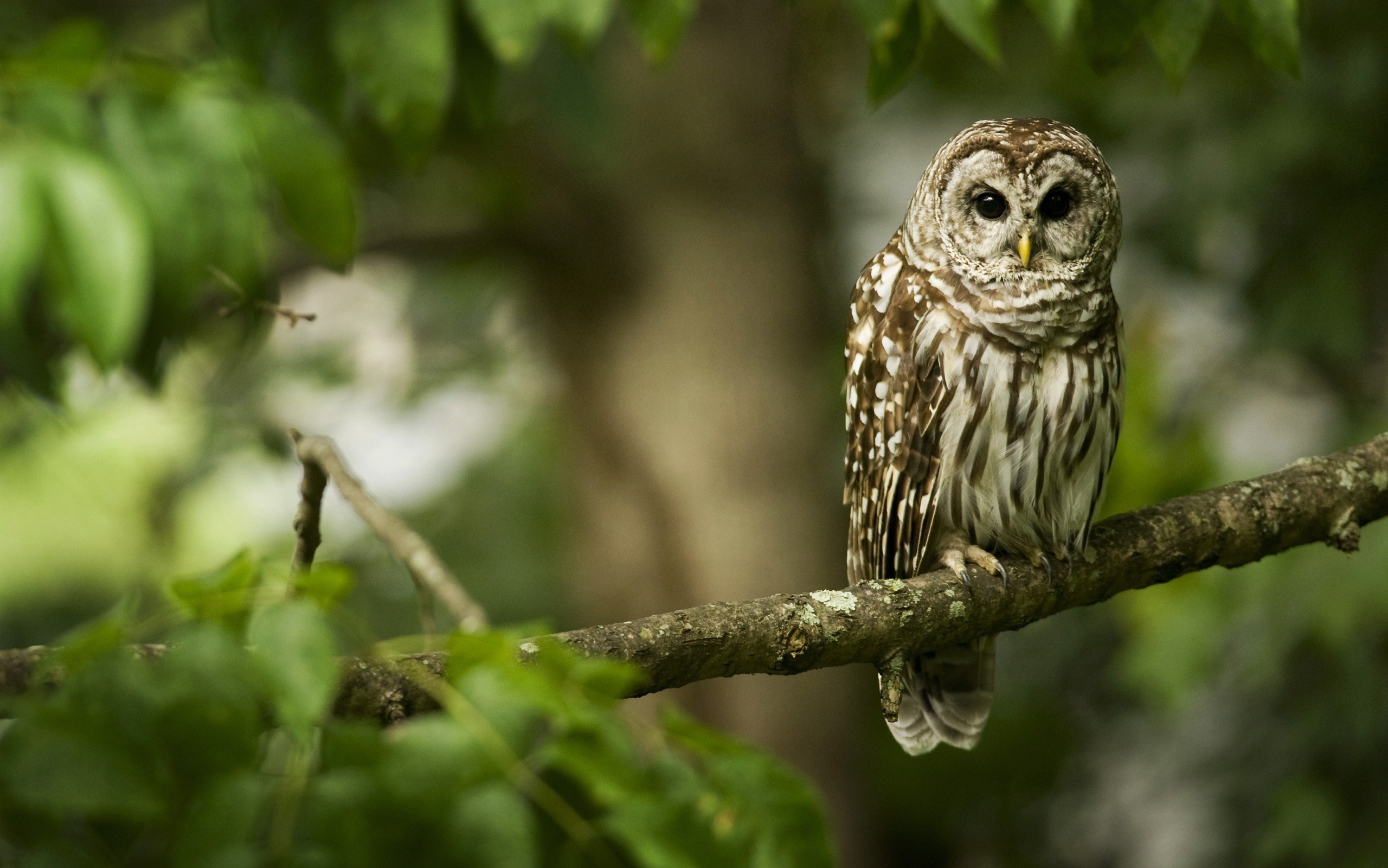 Forest Nature Branch Owl Bird HD Wallpaper