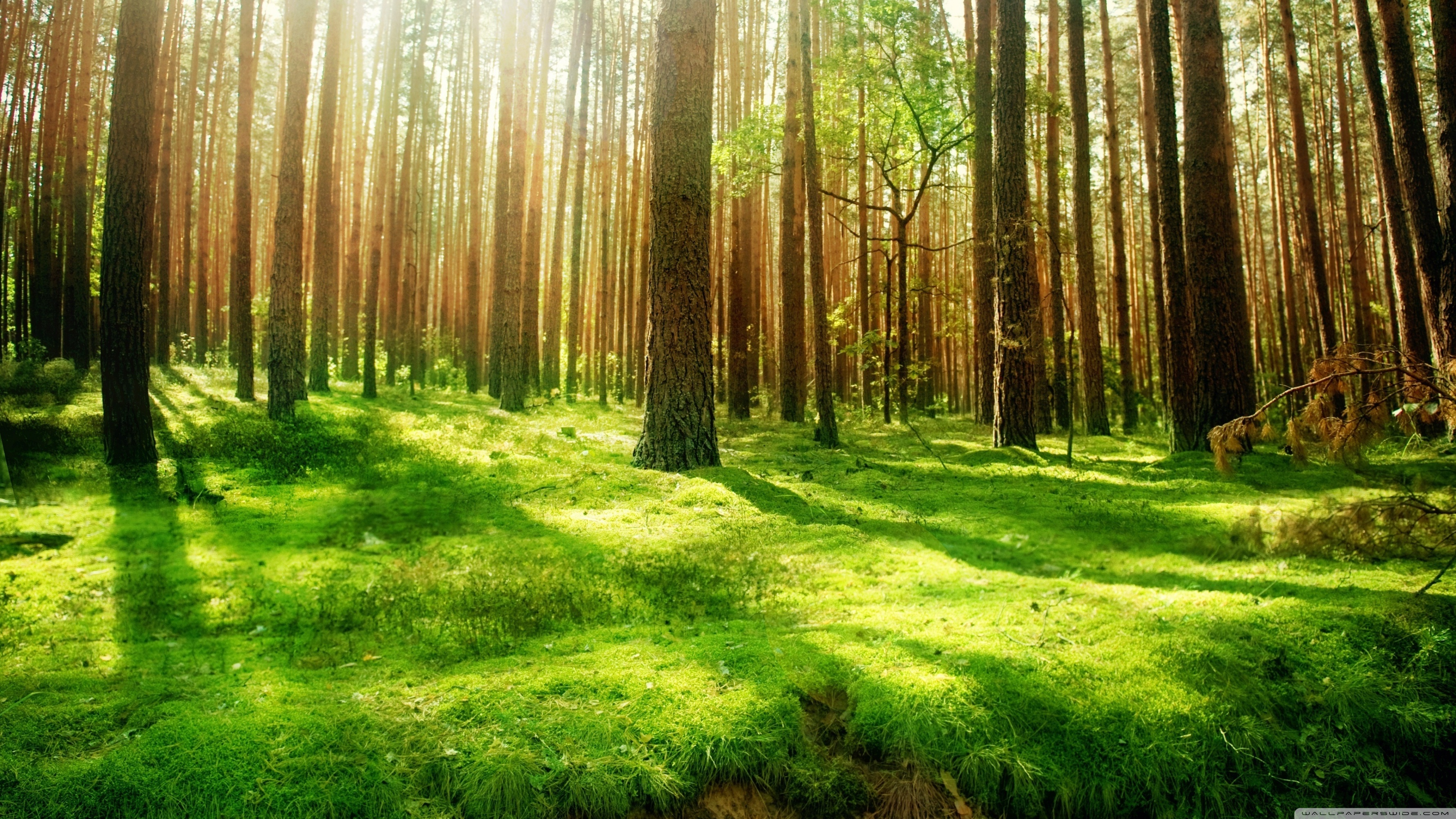 Forest Wallpaper HD
