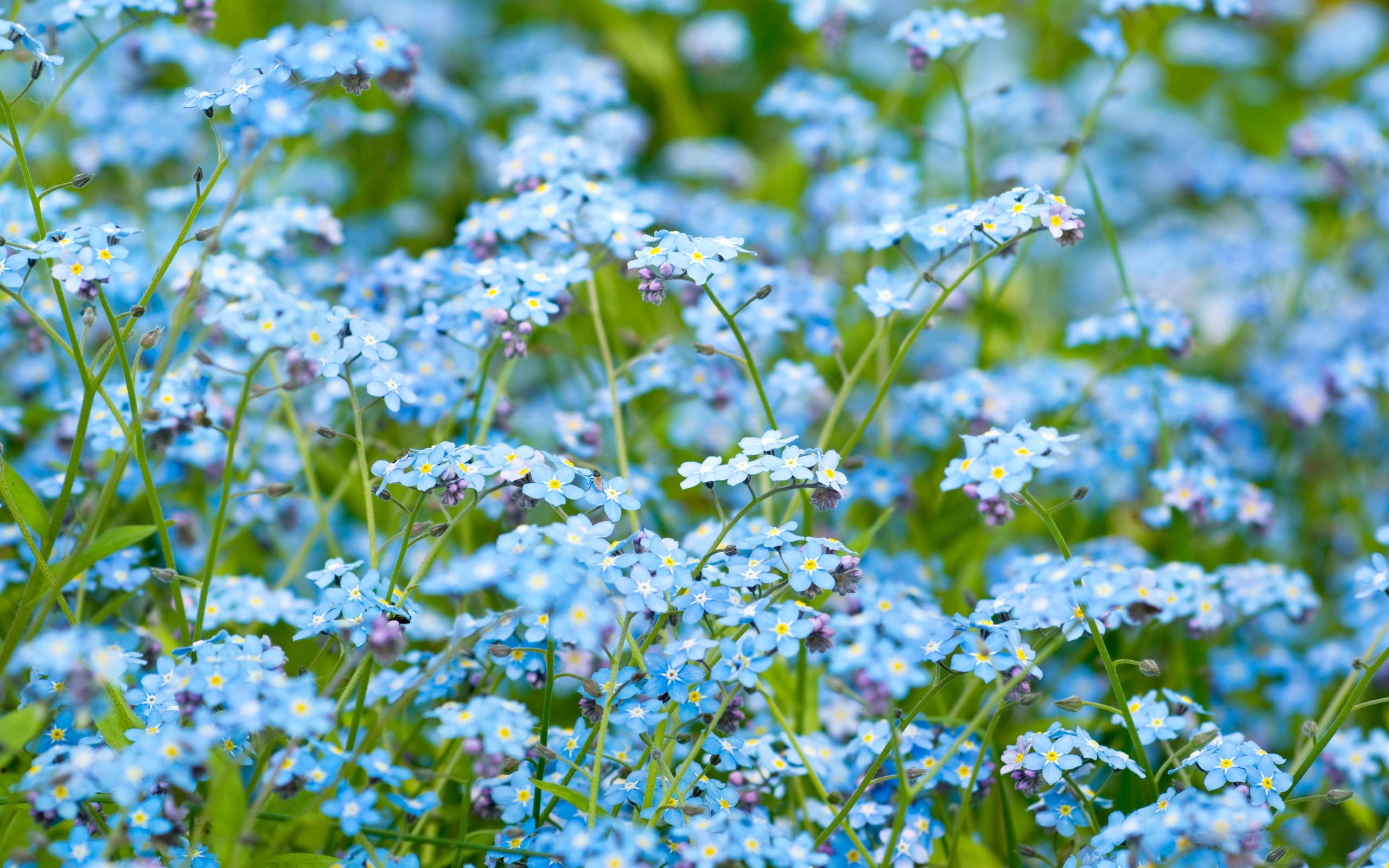 Forget me not field