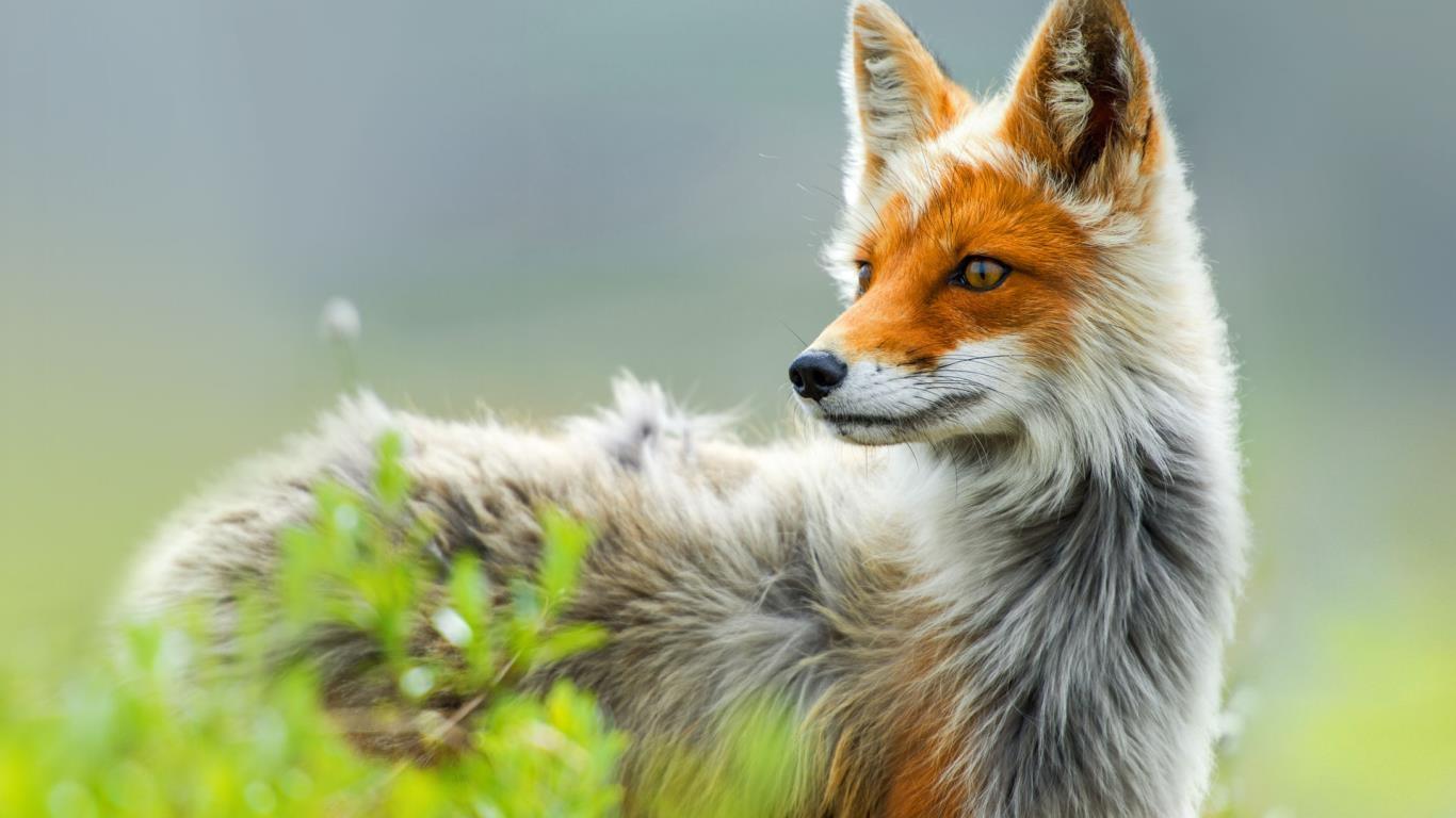 Russian Red Fox ...
