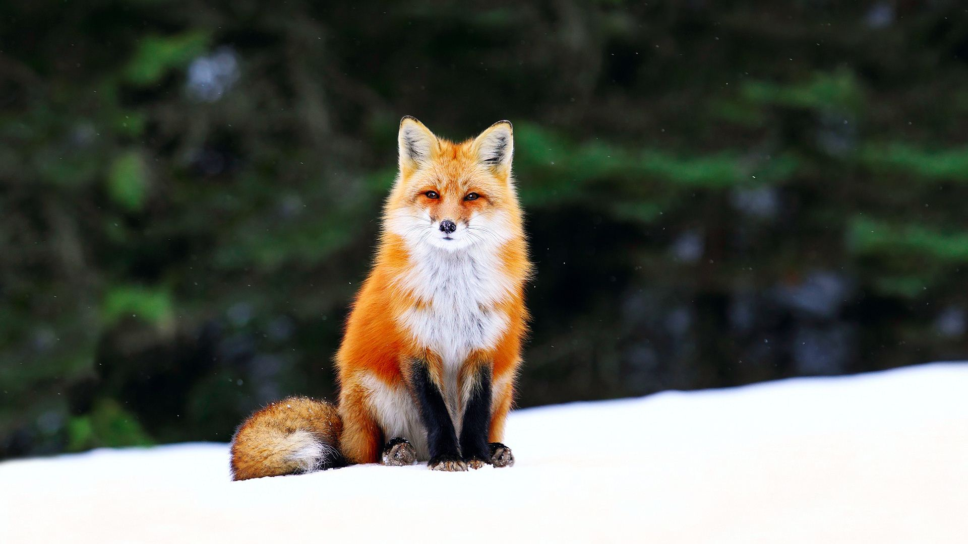 Cute Orange Fox Res: 1920x1080 HD / Size:162kb. Views: 29061