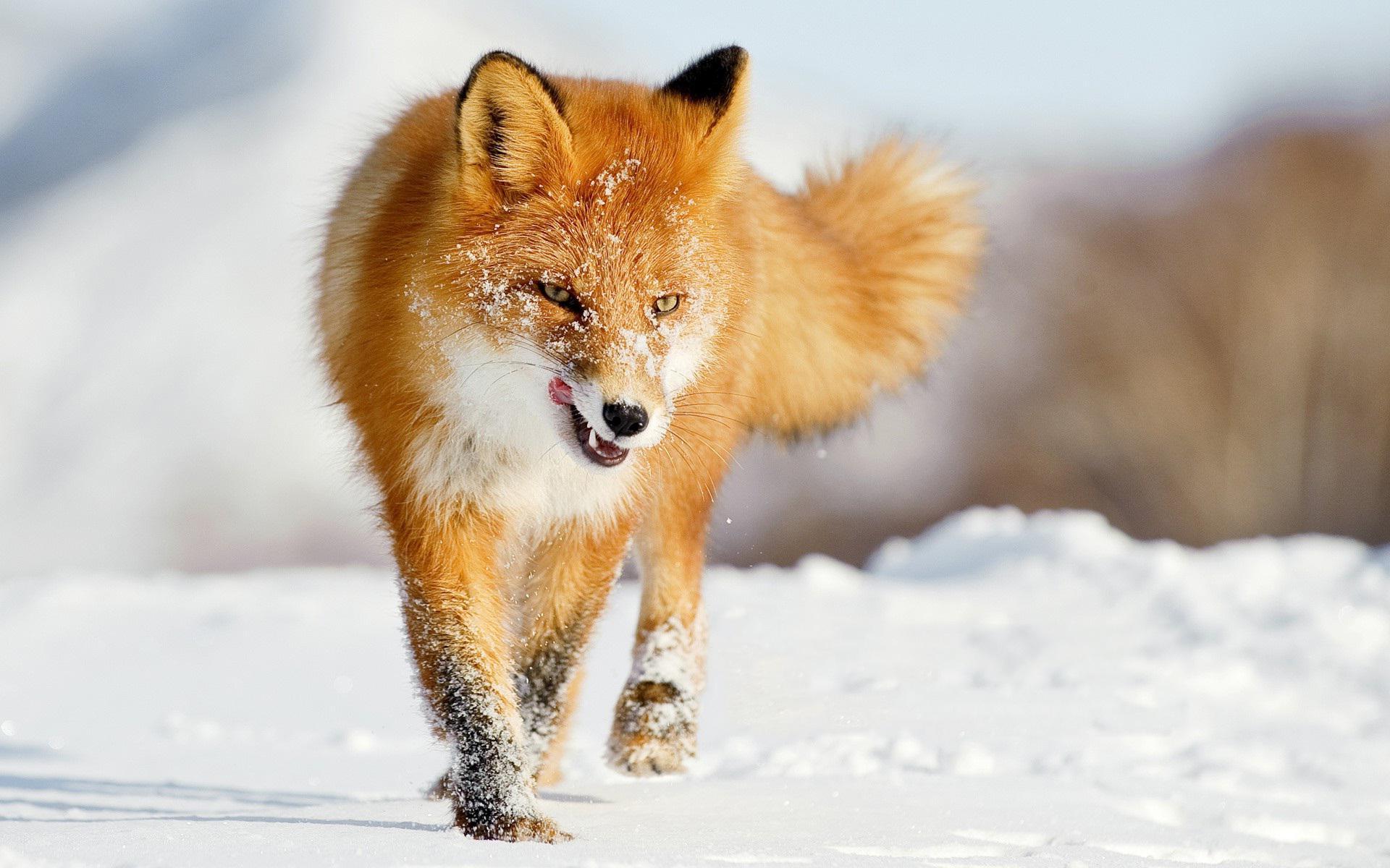 Fox Res: 1920x1200 / Size:233kb. Views: 147663