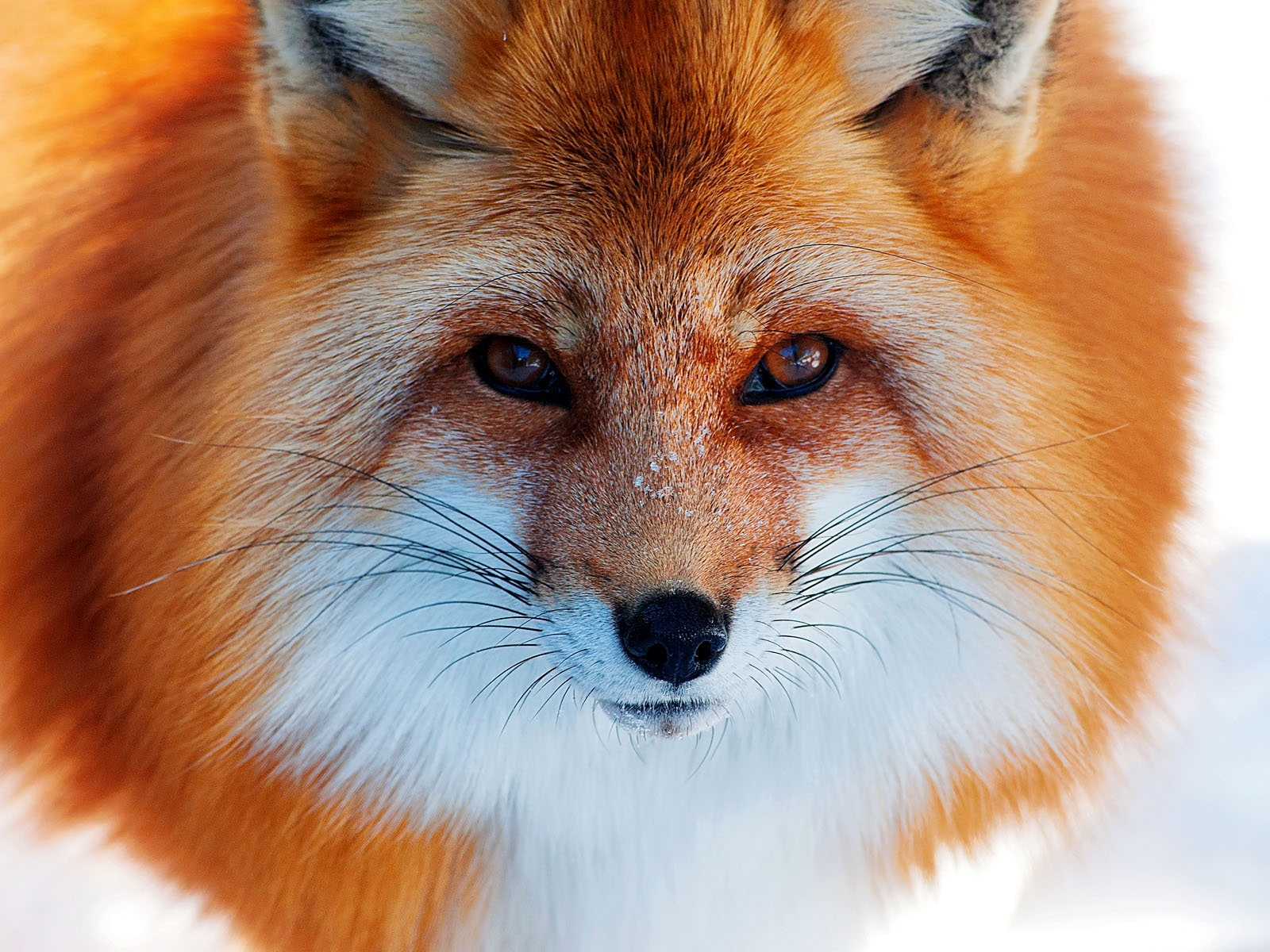 Fox close-up wallpaper 1600x1200.