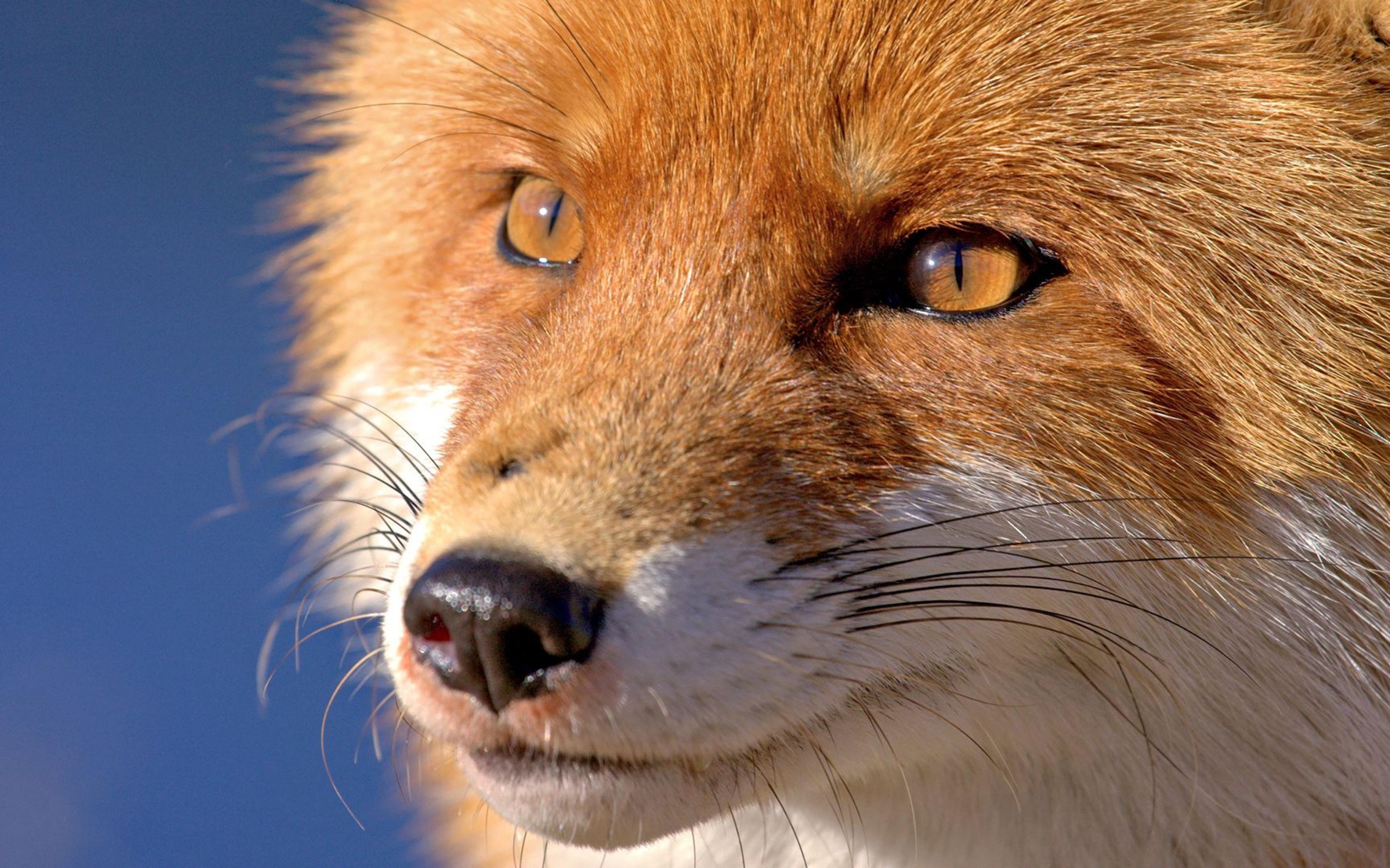 3840x2400 Wallpaper fox, face, eyes, nose