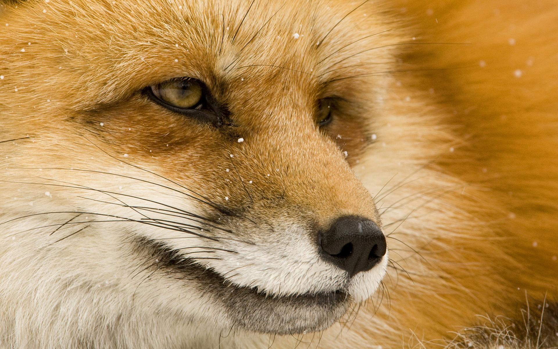 Fox eyes hd Wallpapers Pictures Photos Images. «