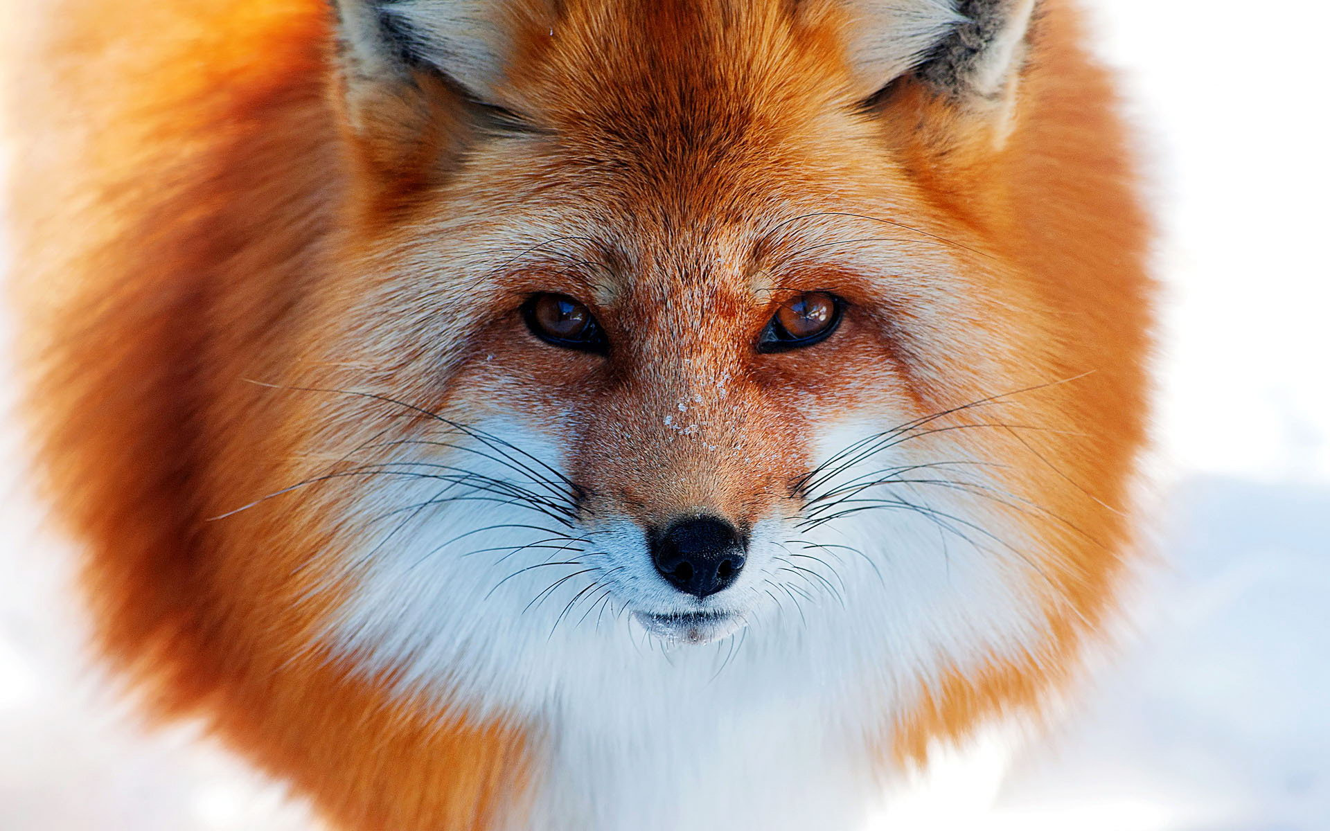 Fox HD Wallpapers 1