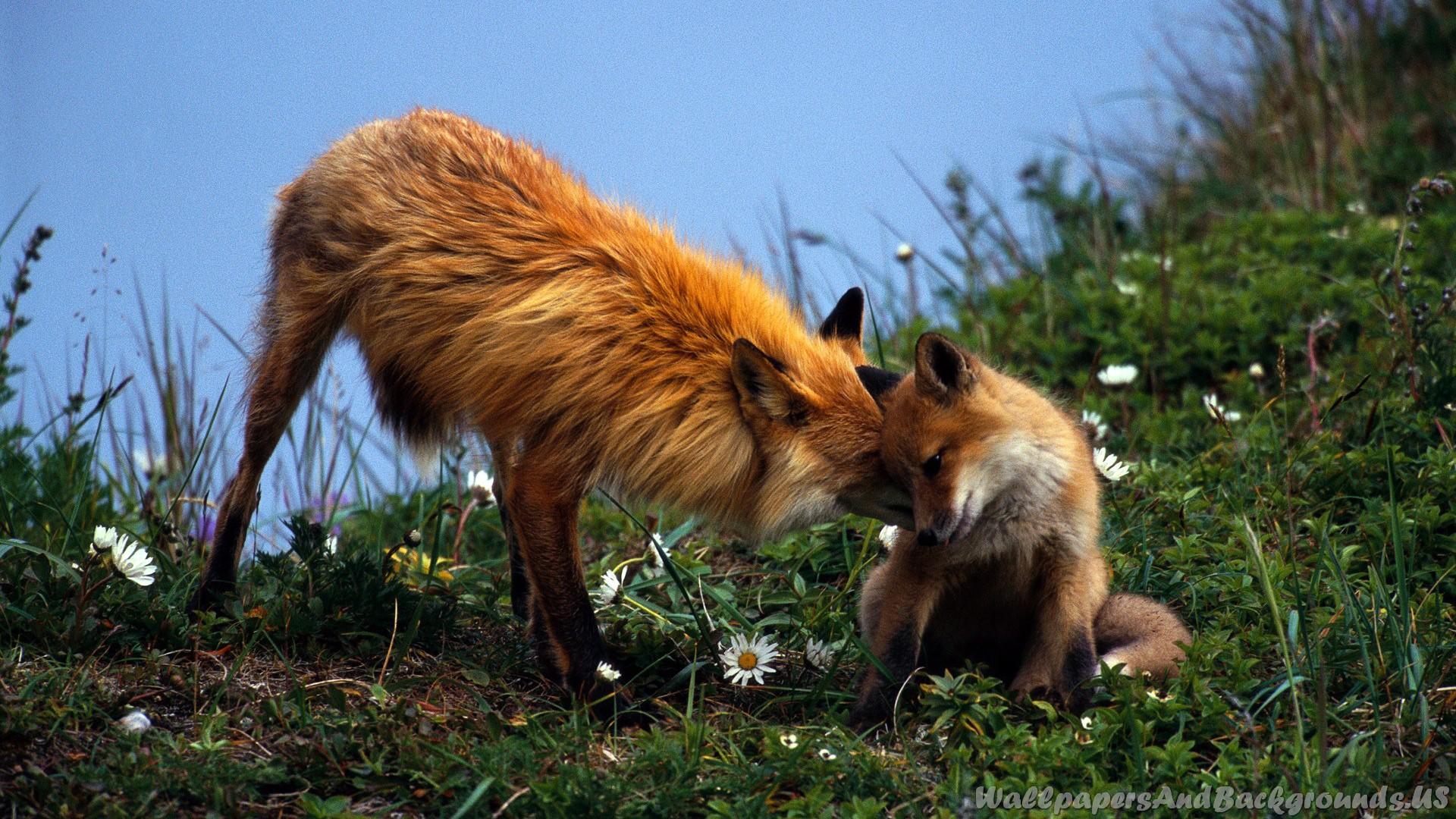 Fox-Nature