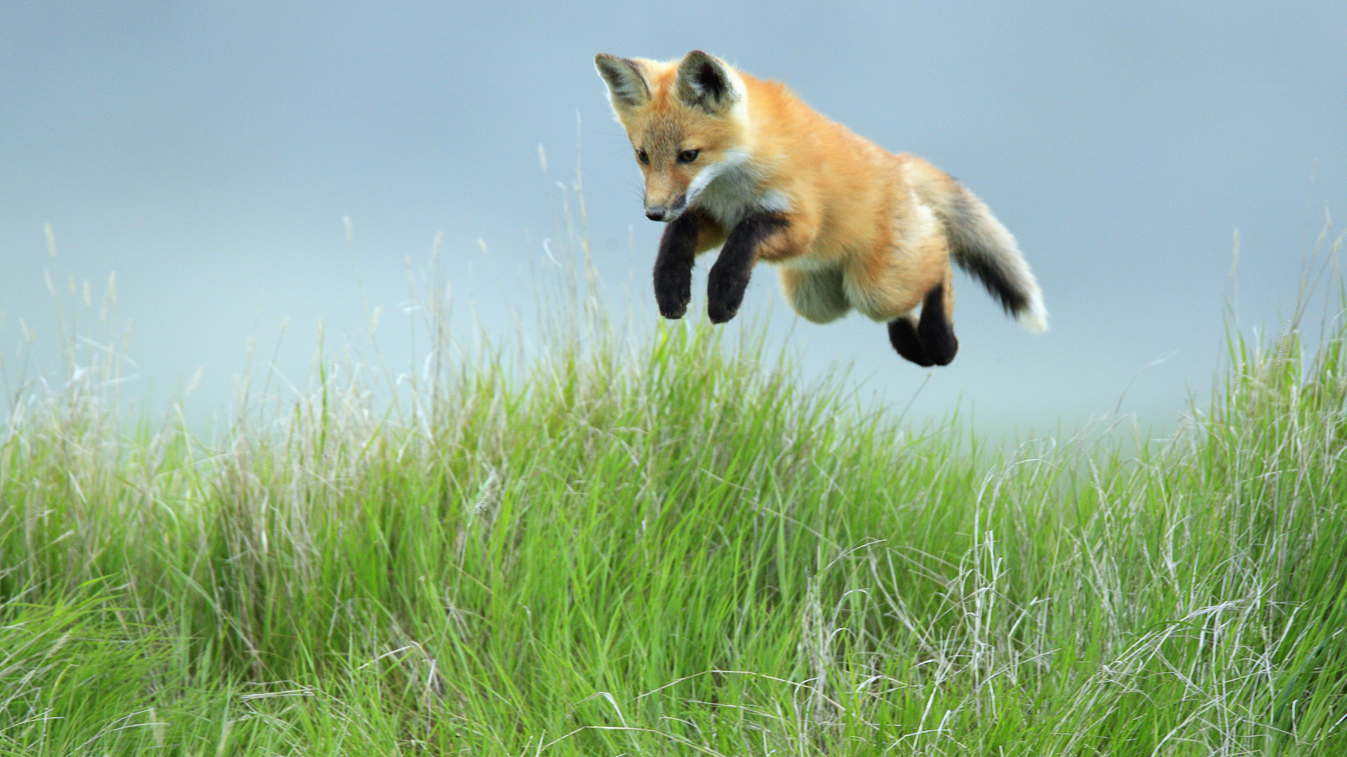 Foxes Leaping Red Fox Pup, Saskatchewan Animals Wallpapers and photos
